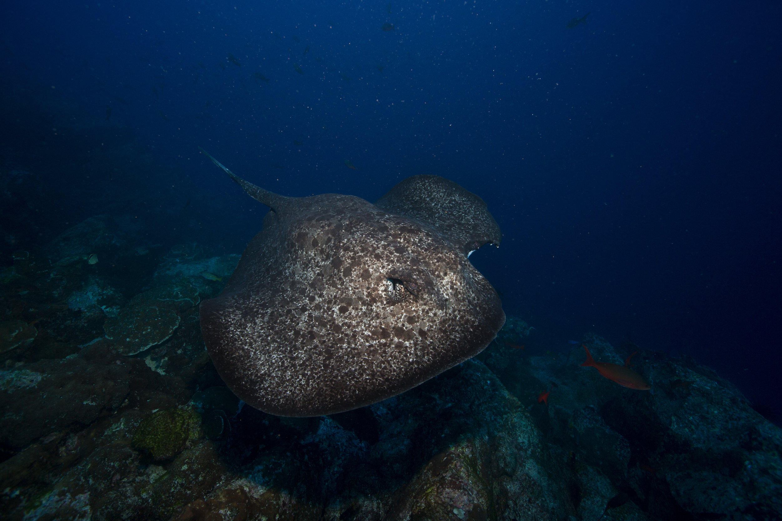 stingray credit: rick miskiv / coral reef image bank
