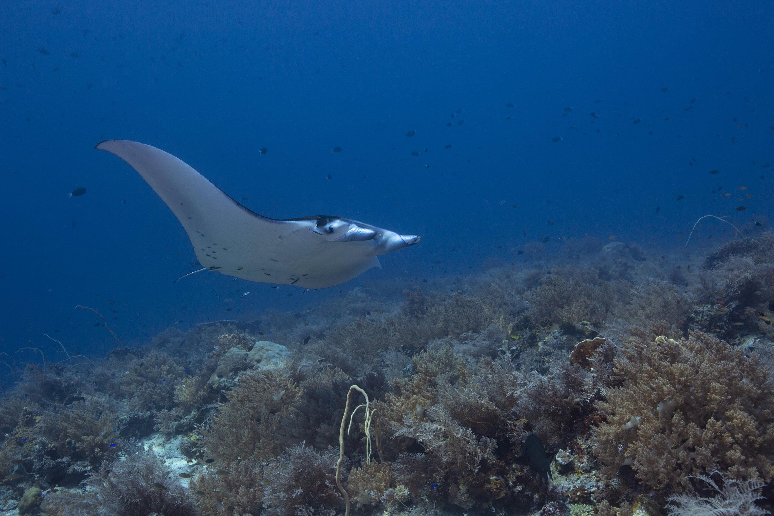 manta ray credit: rick miskiv / coral reef image bank