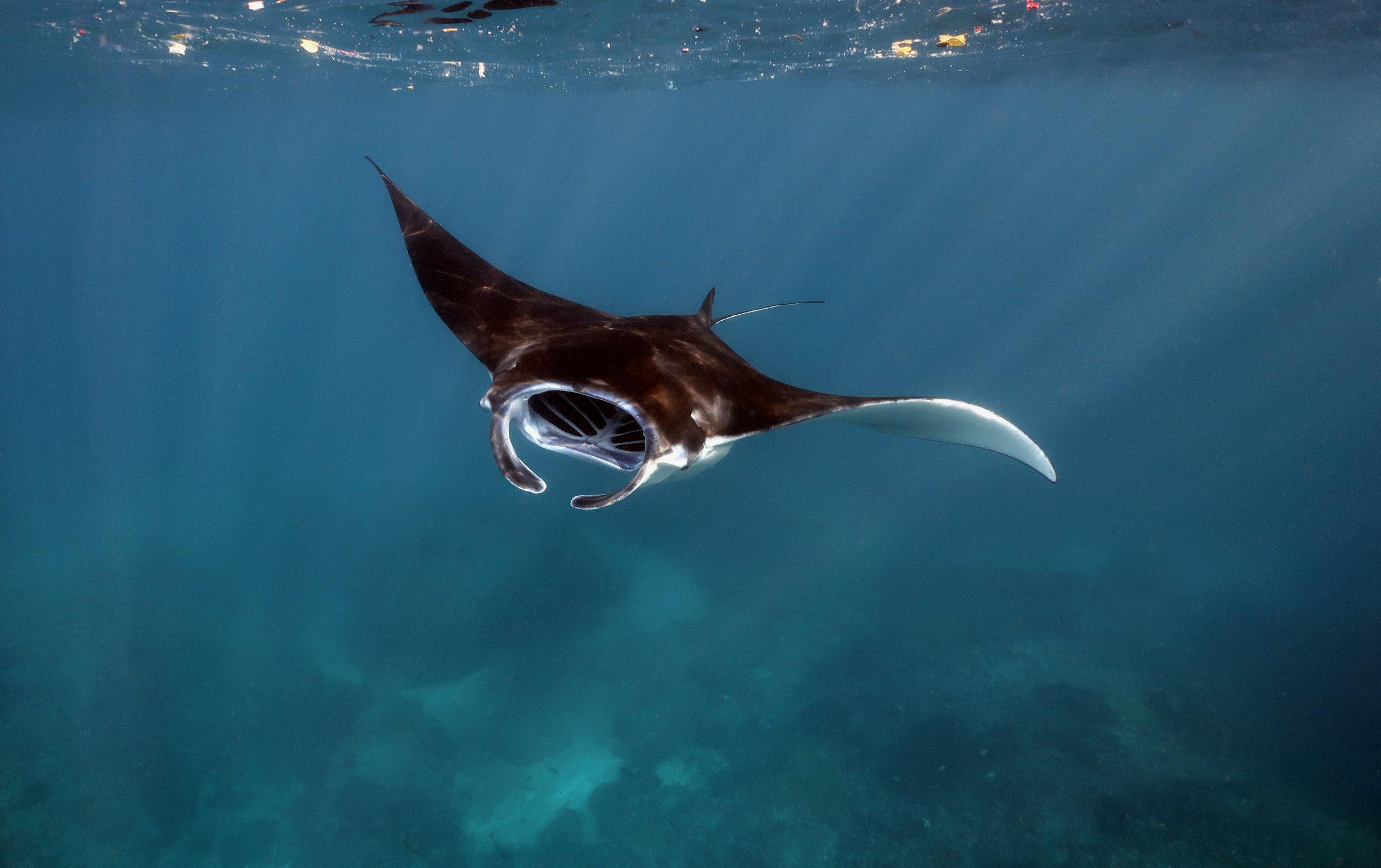 manta fly-by, nusa penida CREDIT: Anett Szaszi / coral reef image bank