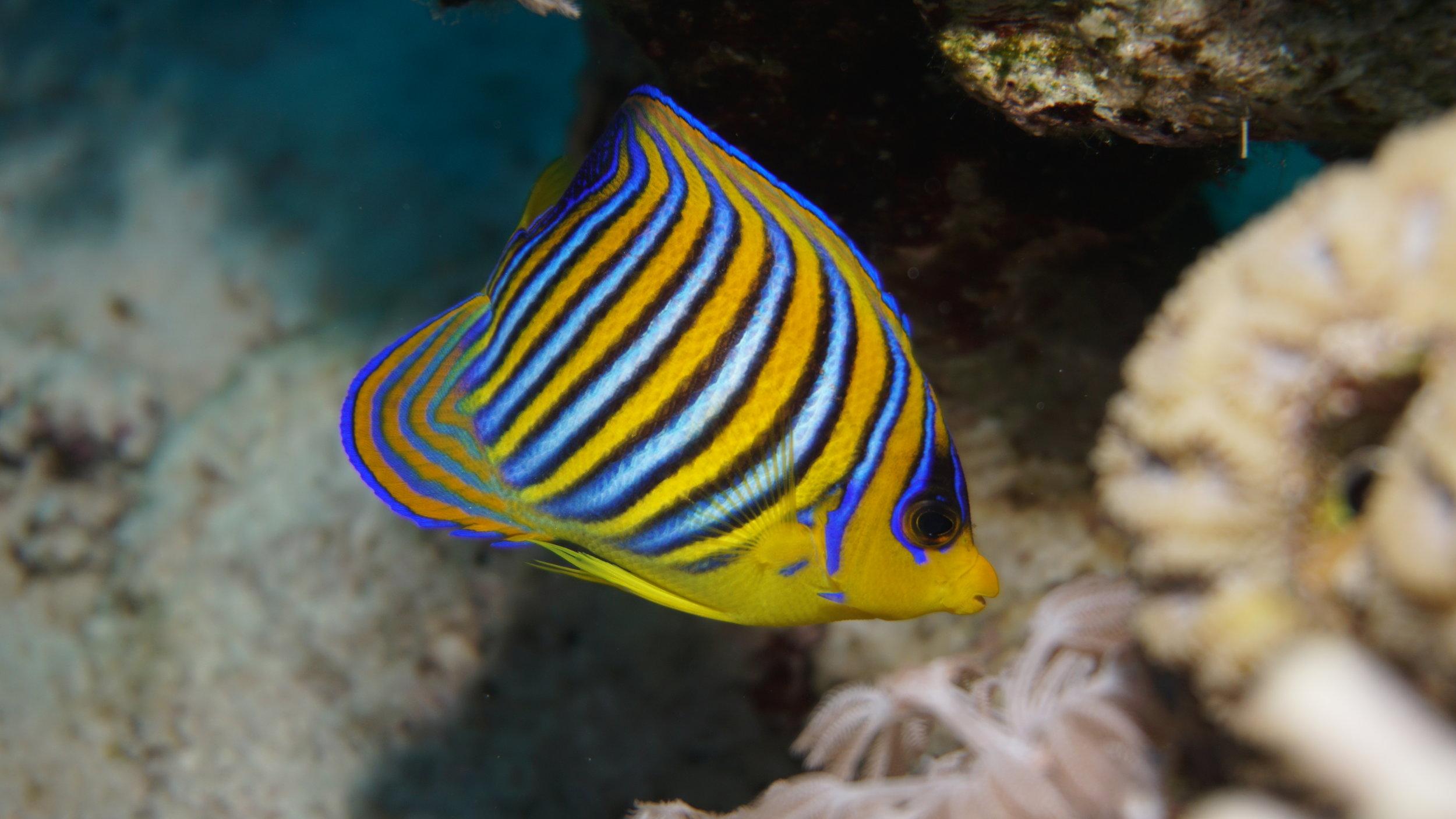 royal angel butterflyfish credit: Ceyhan Bekiroglu / coral reef image bank