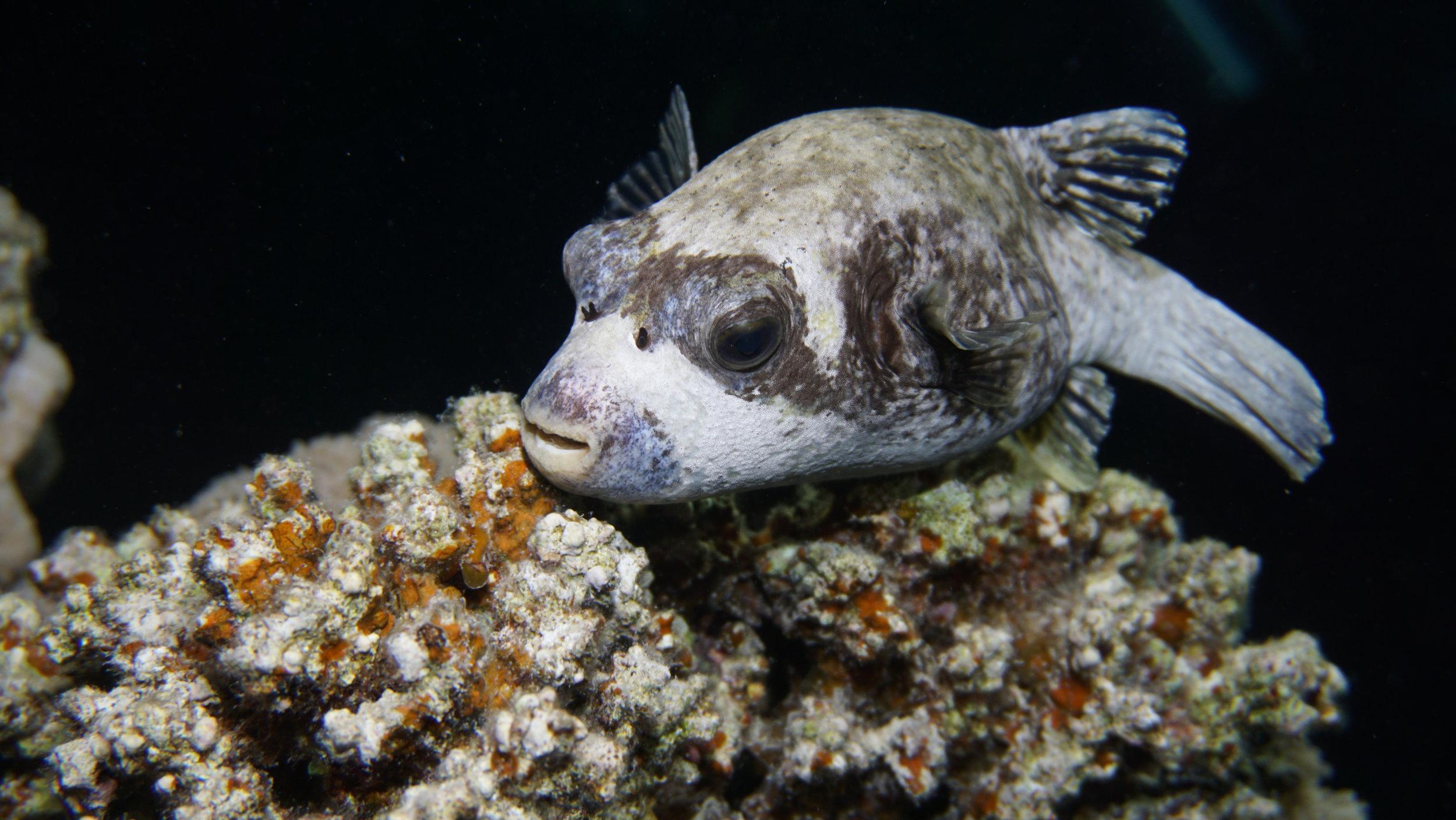 puffer credit: Ceyhan Bekiroglu / coral reef image bank