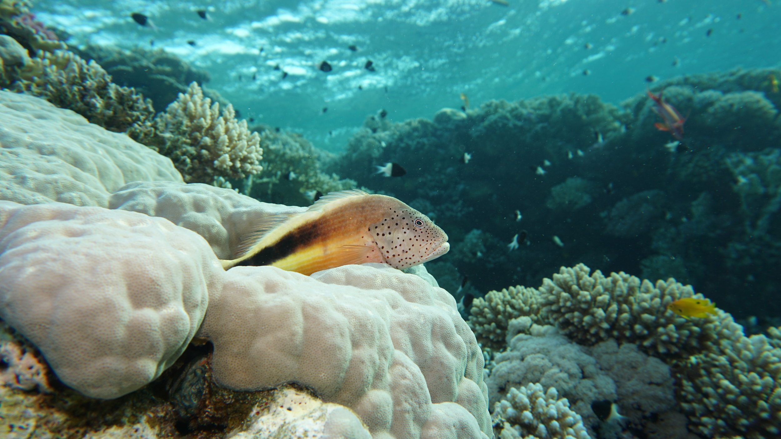 Freckled hawkfish credit: Ceyhan Bekiroglu / coral reef image bank