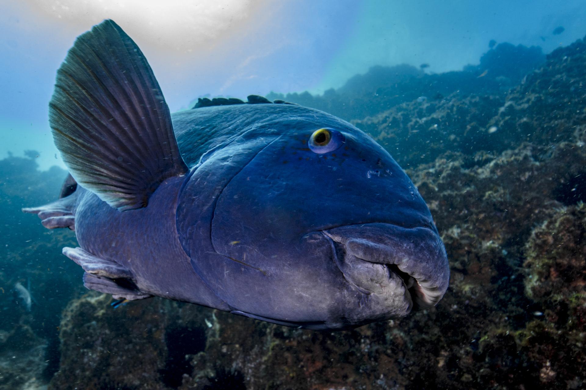 blue grouper credit: david P. robinson / coral reef image bank