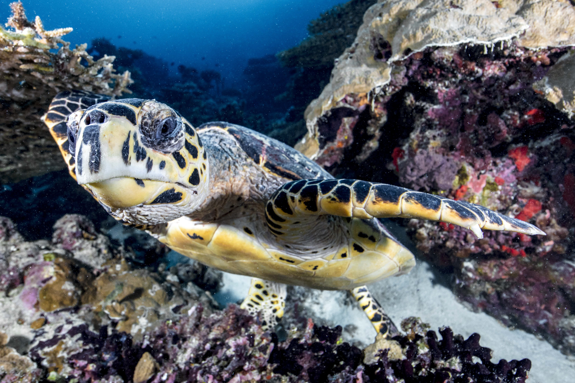 TURTLE SWIMMING credit: david p. robinson / coral reef image bank