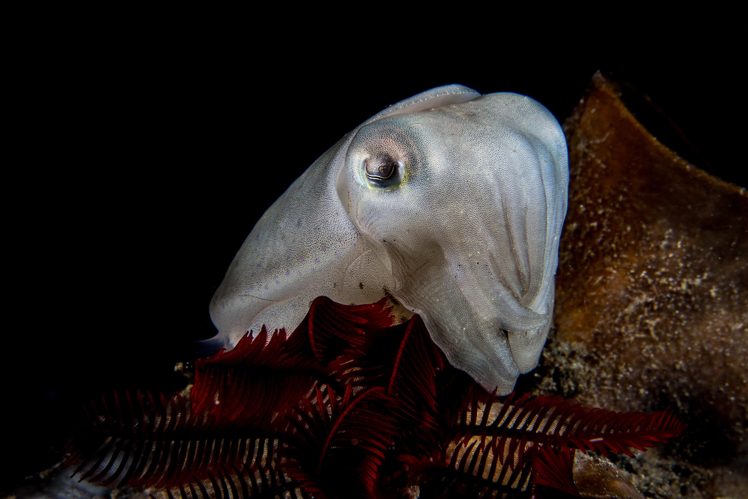 cyttlefish CREDIT: WOJTEK MECZYNSKI / coral reef image bank