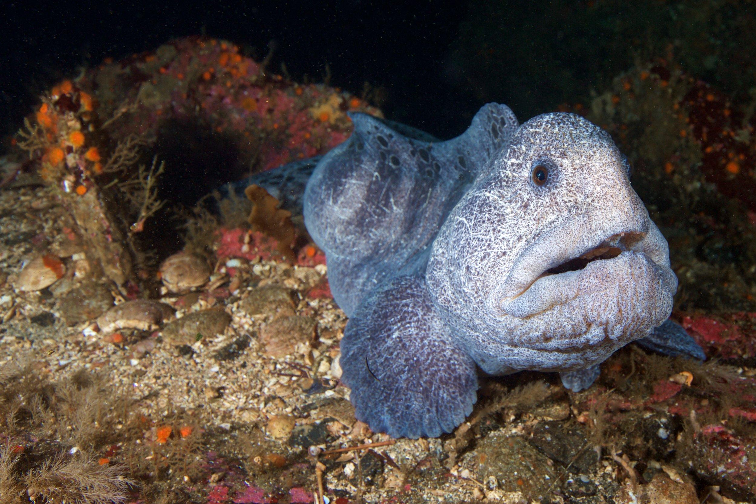 Atlantic wolffish credit: gregory piper / coral reef image bank