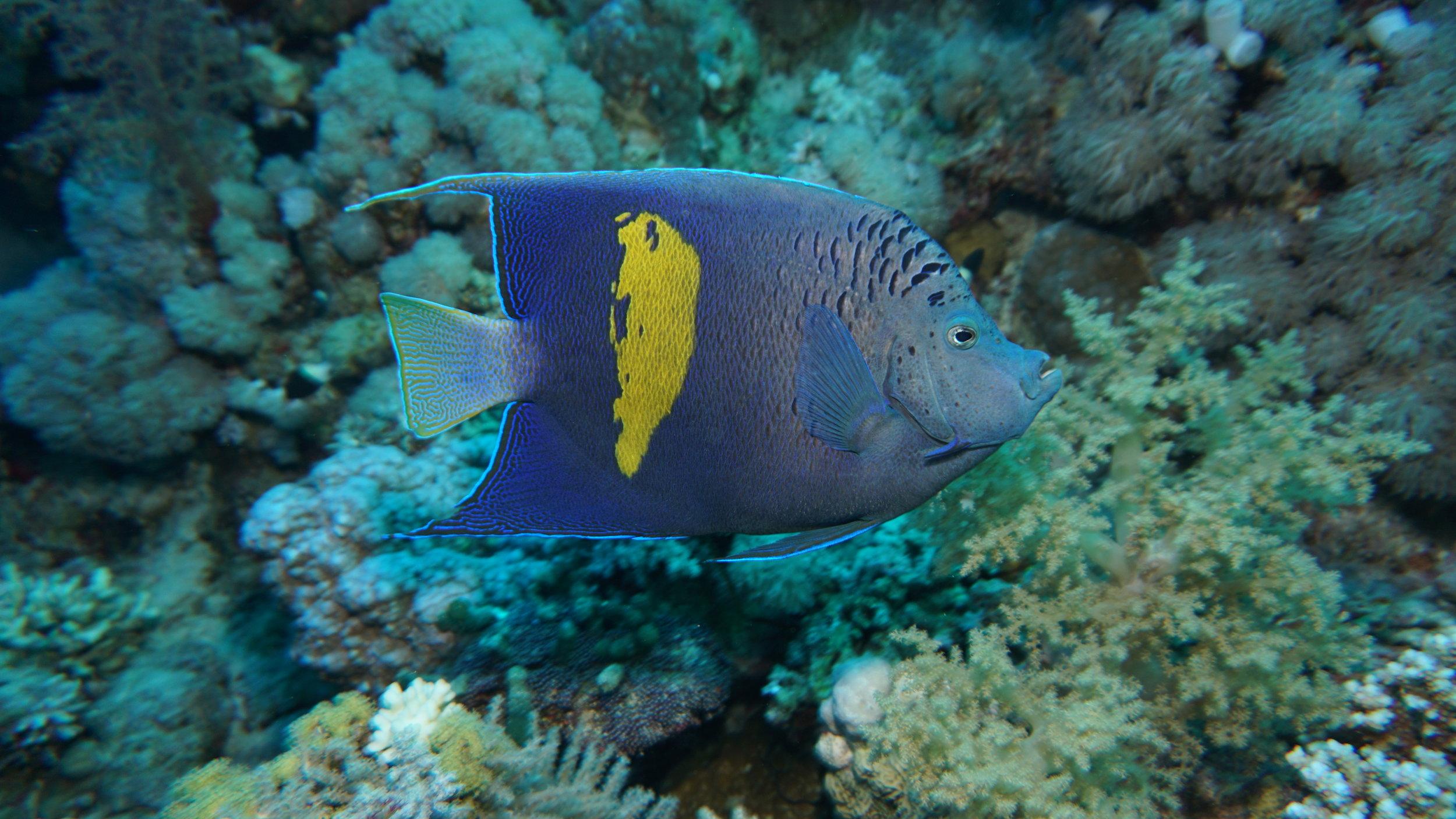 Yellowbar angelfish credit: Ceyhan Bekiroglu / coral reef image bank