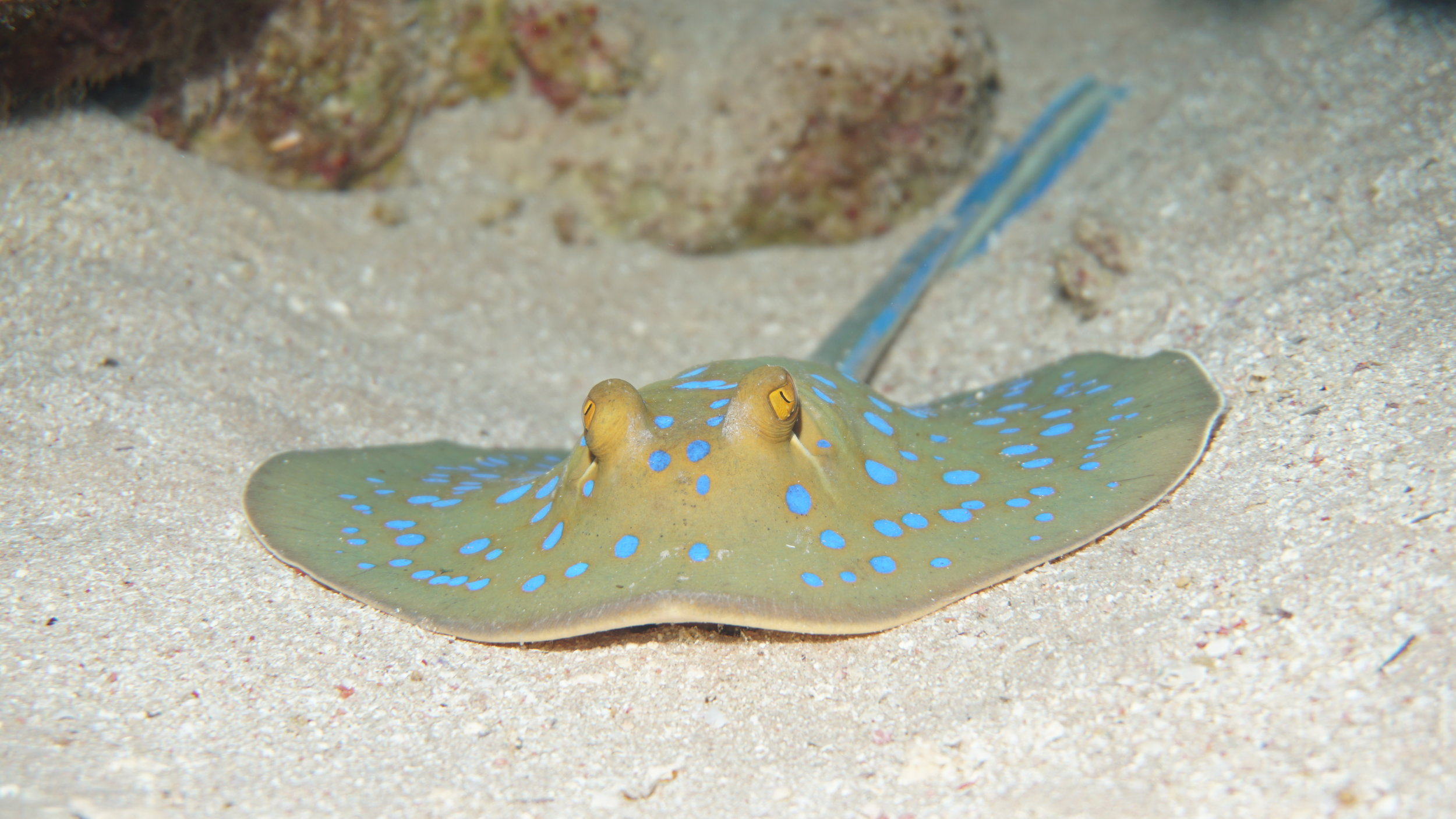 blue spotted ray credit: Ceyhan Bekiroglu / coral reef image bank