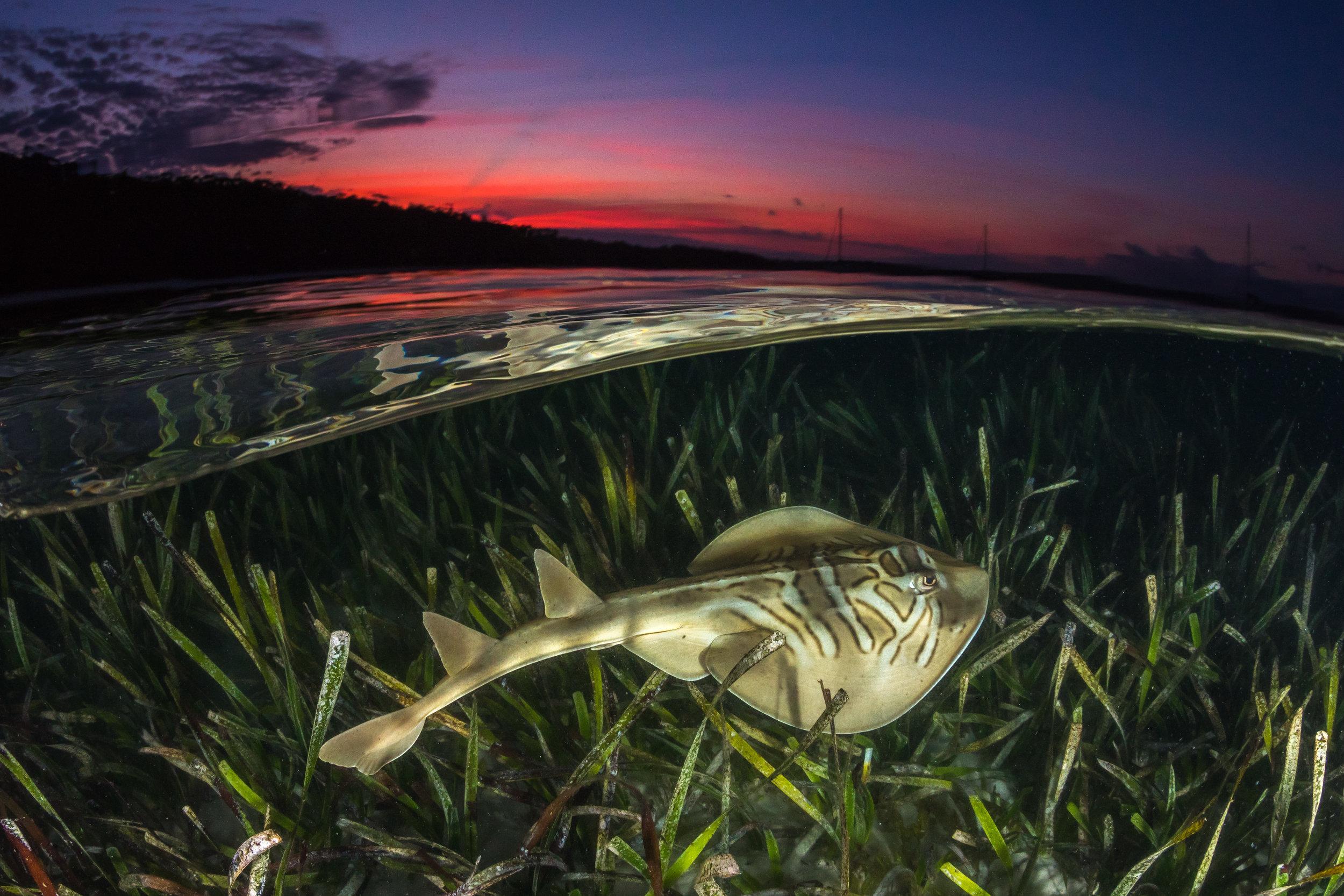 Eastern Fiddlar Ray credit: JORDAN ROBINS / coral reef image bank