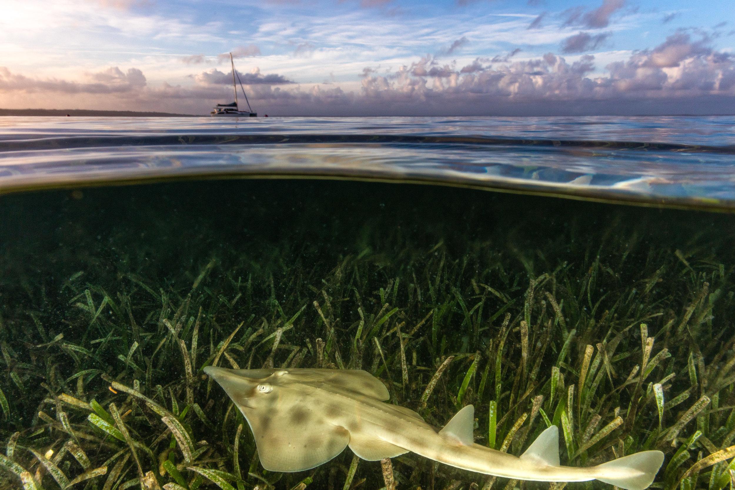 guitarfish credit: jordan robins / coral reef image bank