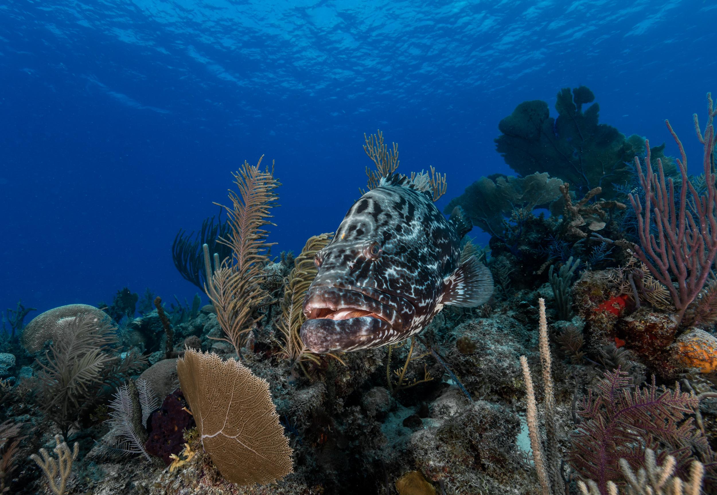 grouper, Jardines De La Reina CRedit: Phillip hamilton / CORAL REEF IMAGE BANK