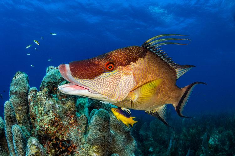 hogfish, Jardines De La Reina CRedit: fabrice dudenhofer / CORAL REEF IMAGE BANK