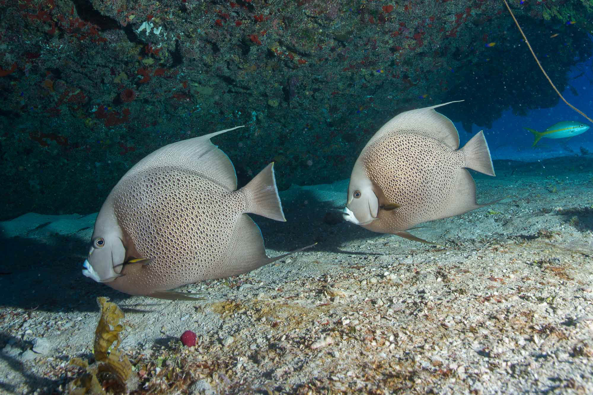 angelfish, Jardines De La Reina credit: DAVID GROSS / CORAL REEF IMAGE BANK
