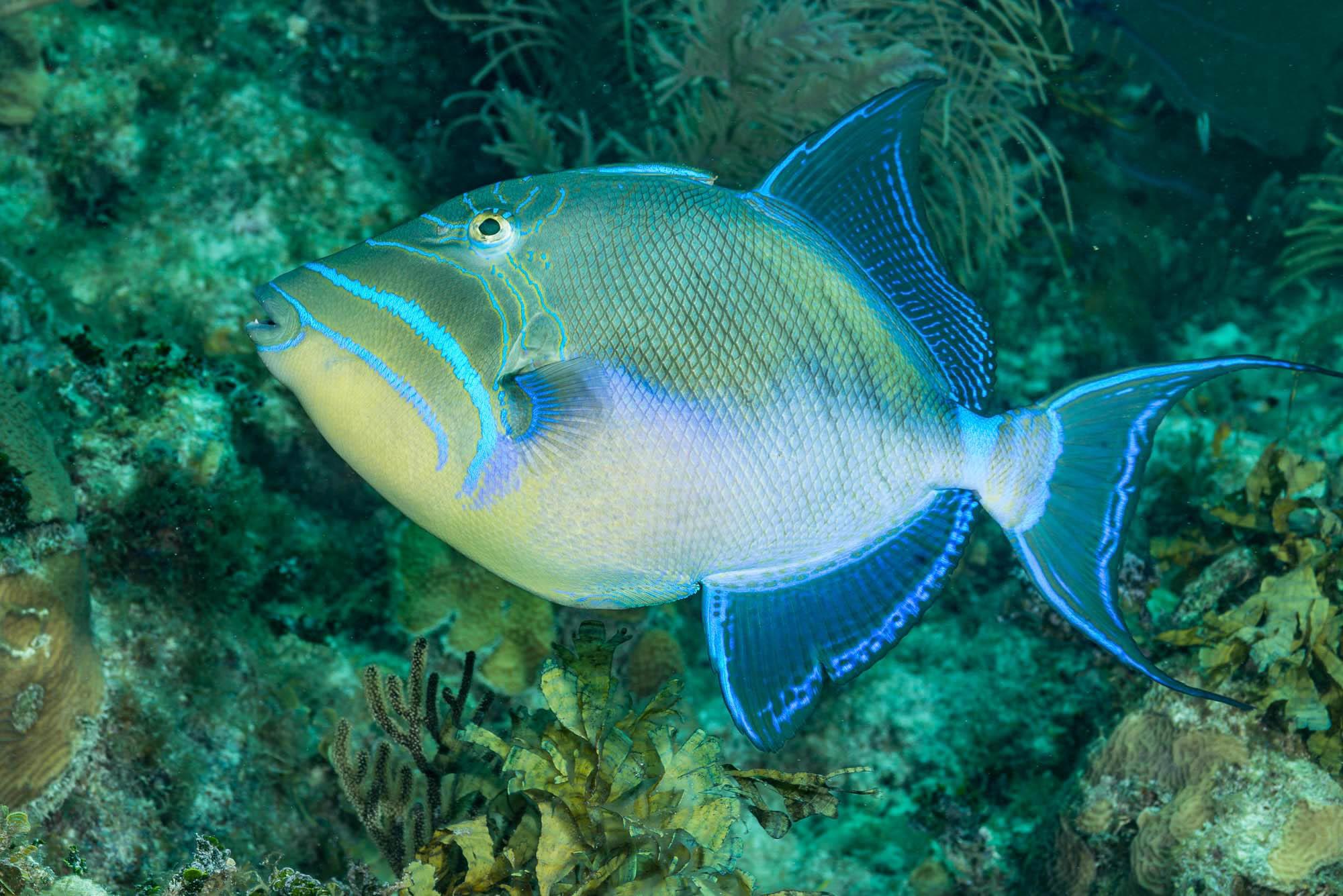 triggerfish, Jardines De La Reina credit: DAVID GROSS / CORAL REEF IMAGE BANK