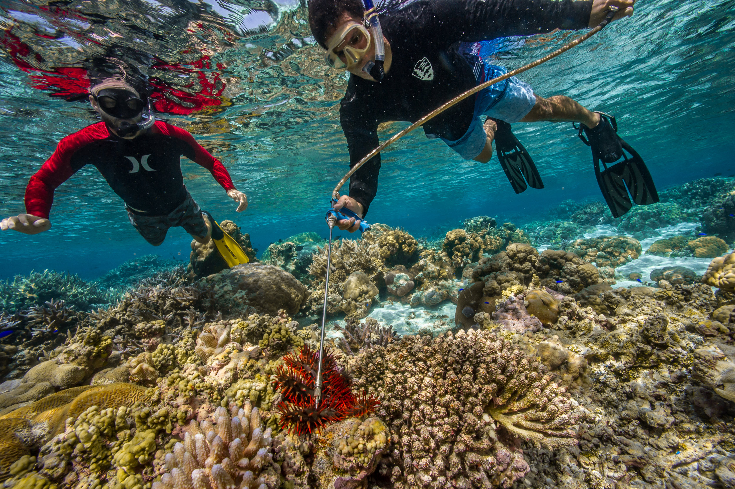 killing invasive species, National Park of American Samoa Credit: Shaun wolfe / coral reef image bank