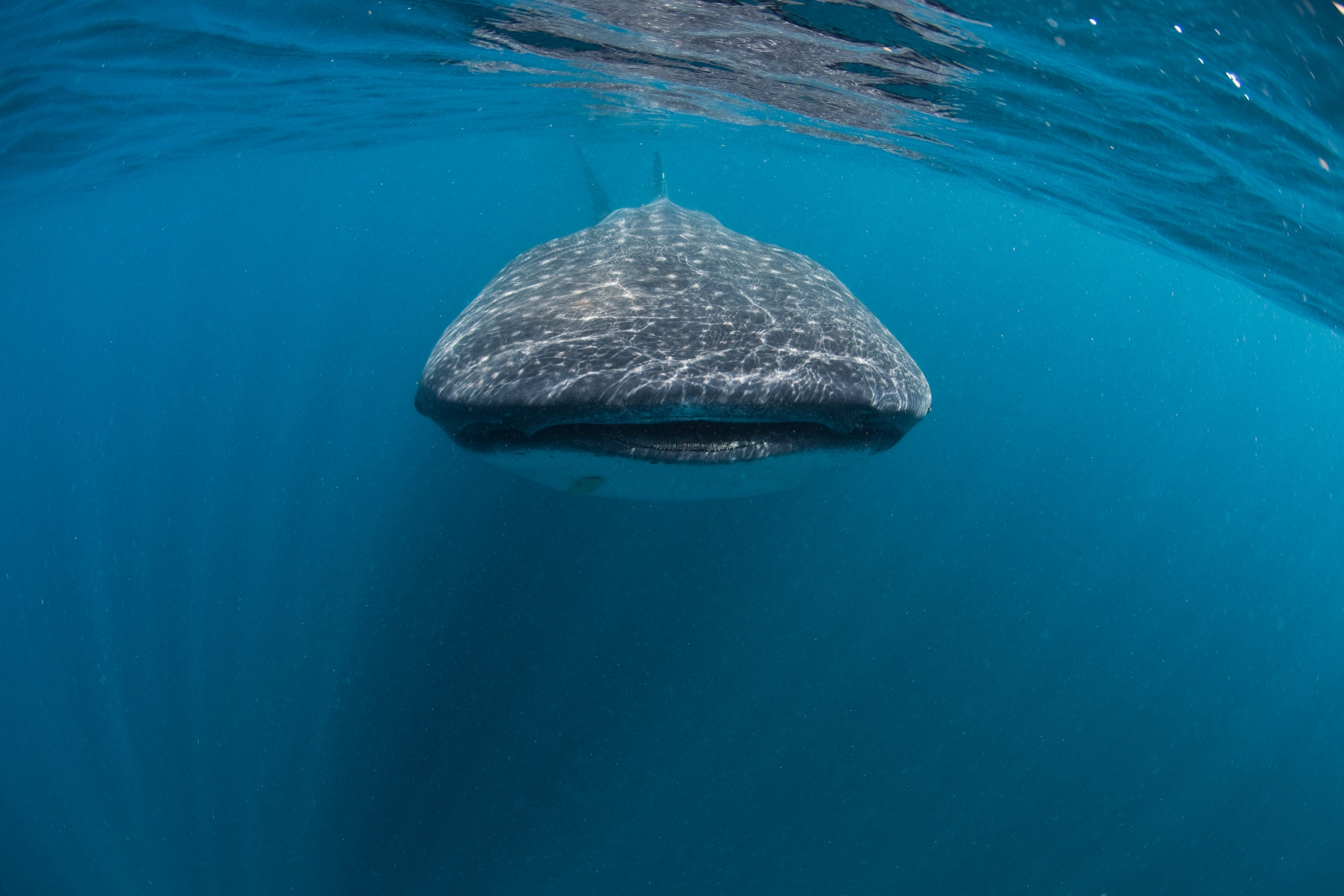 WHALE SHARK CREDIT: ANDY CASAGRANDE / coral reef image bank