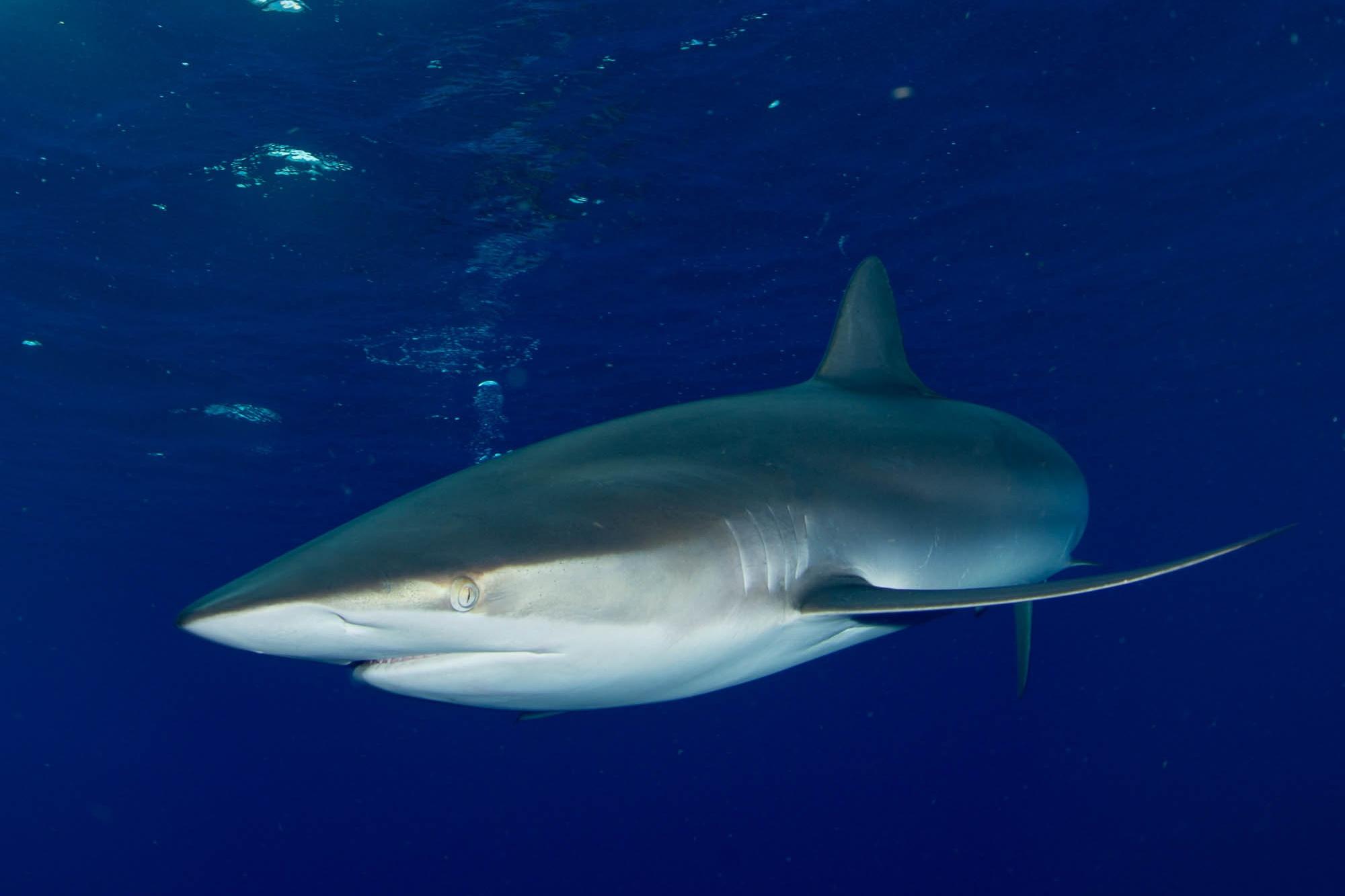 shark in cuba credit: david gross / coral reef image bank
