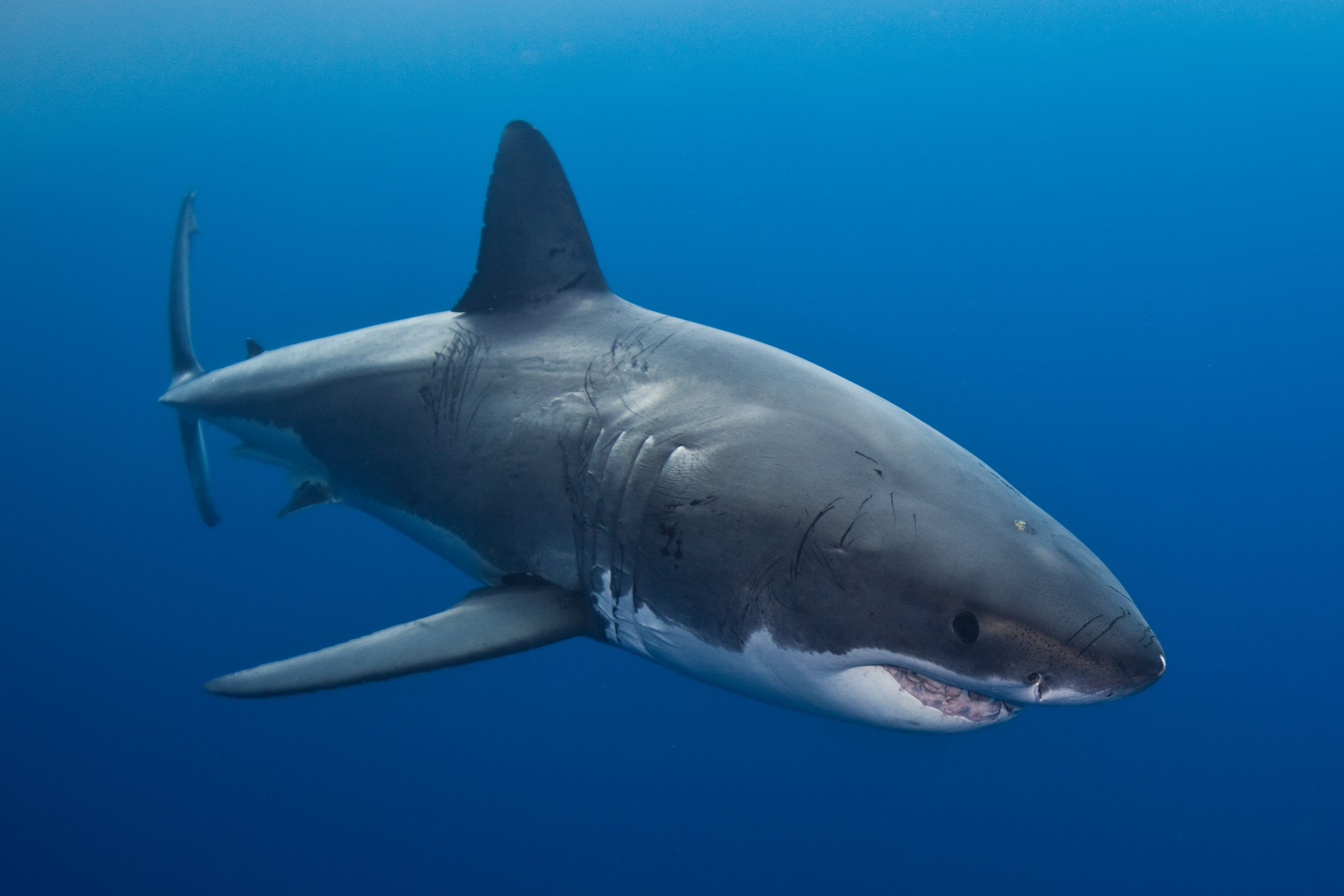 GREAT WHITE SHARK CREDIT: ANDY CASAGRANDE / coral reef image bank