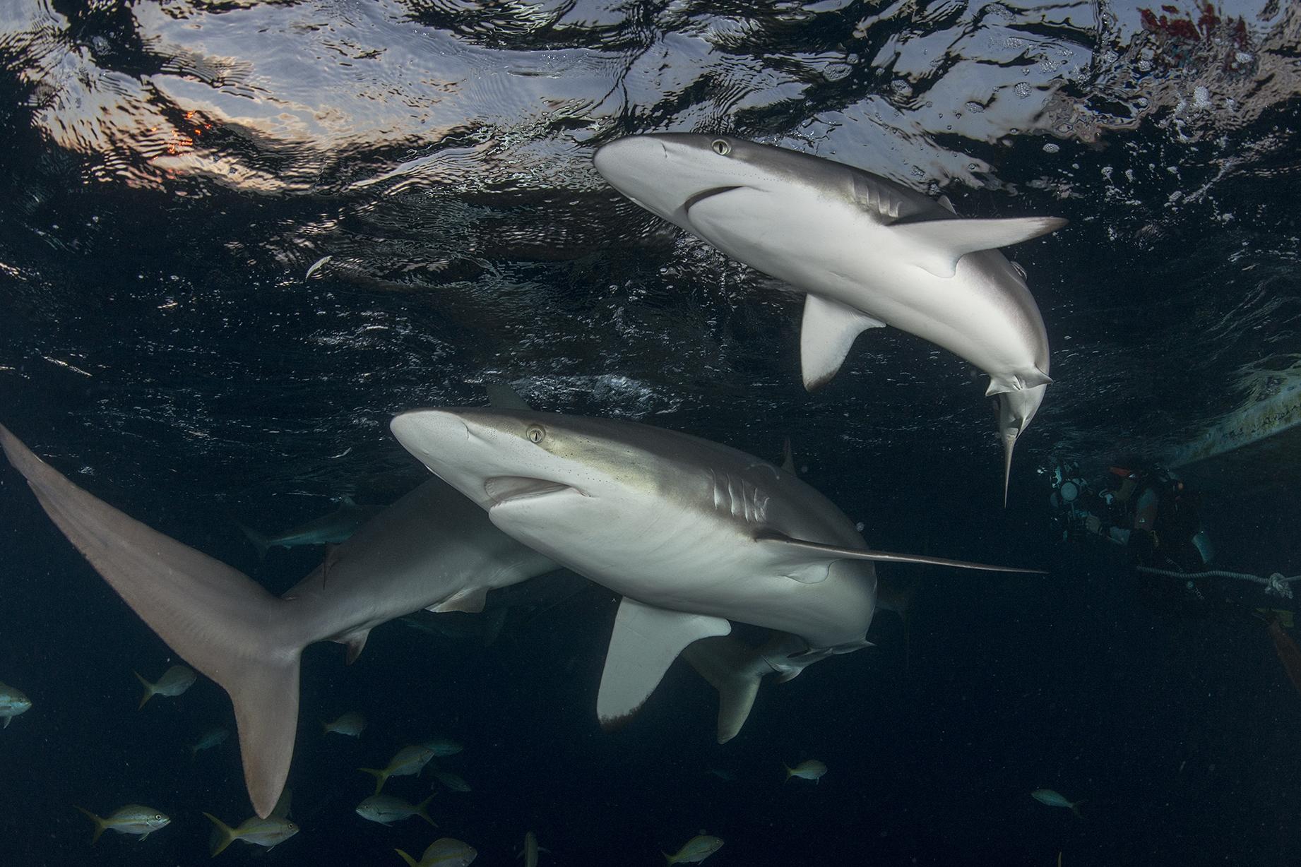 SILKY SHARKS IN CUBA AT NIGHT CREDIT: Jayne JENKINS / coral reef image bank