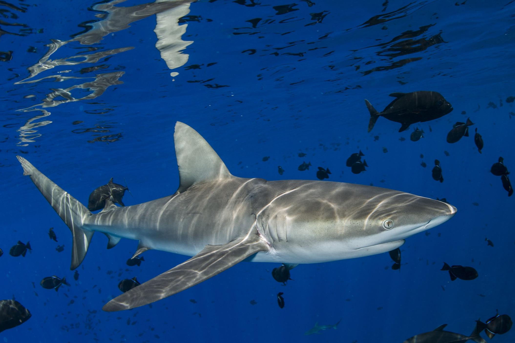 Galapagos shark, blackfish, Ascension island redit: ellen cuylaerts / coral reef image bank