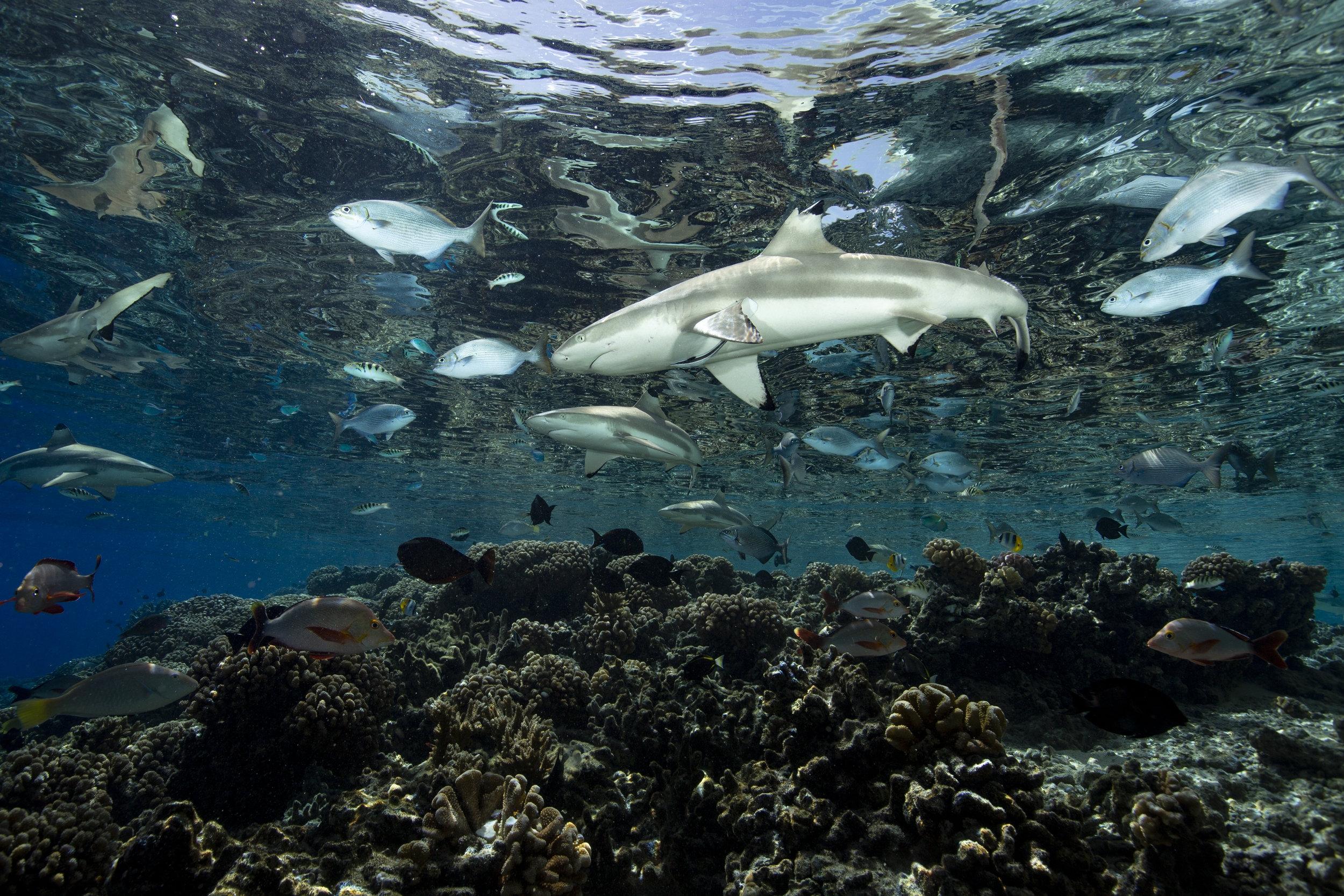 sHARK IN FAKARAVA DURING GROUPER SPAWNING CREDIT: RICK MISKIV / coral reef image bank
