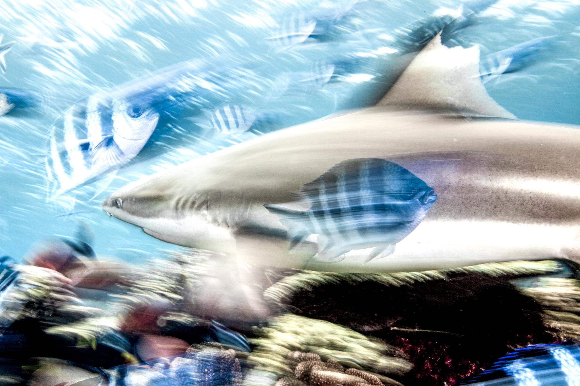 BLACK TIP SHARK, FIJI CREDIT: DAVID P. ROBINSON, PHD / coral reef image bank