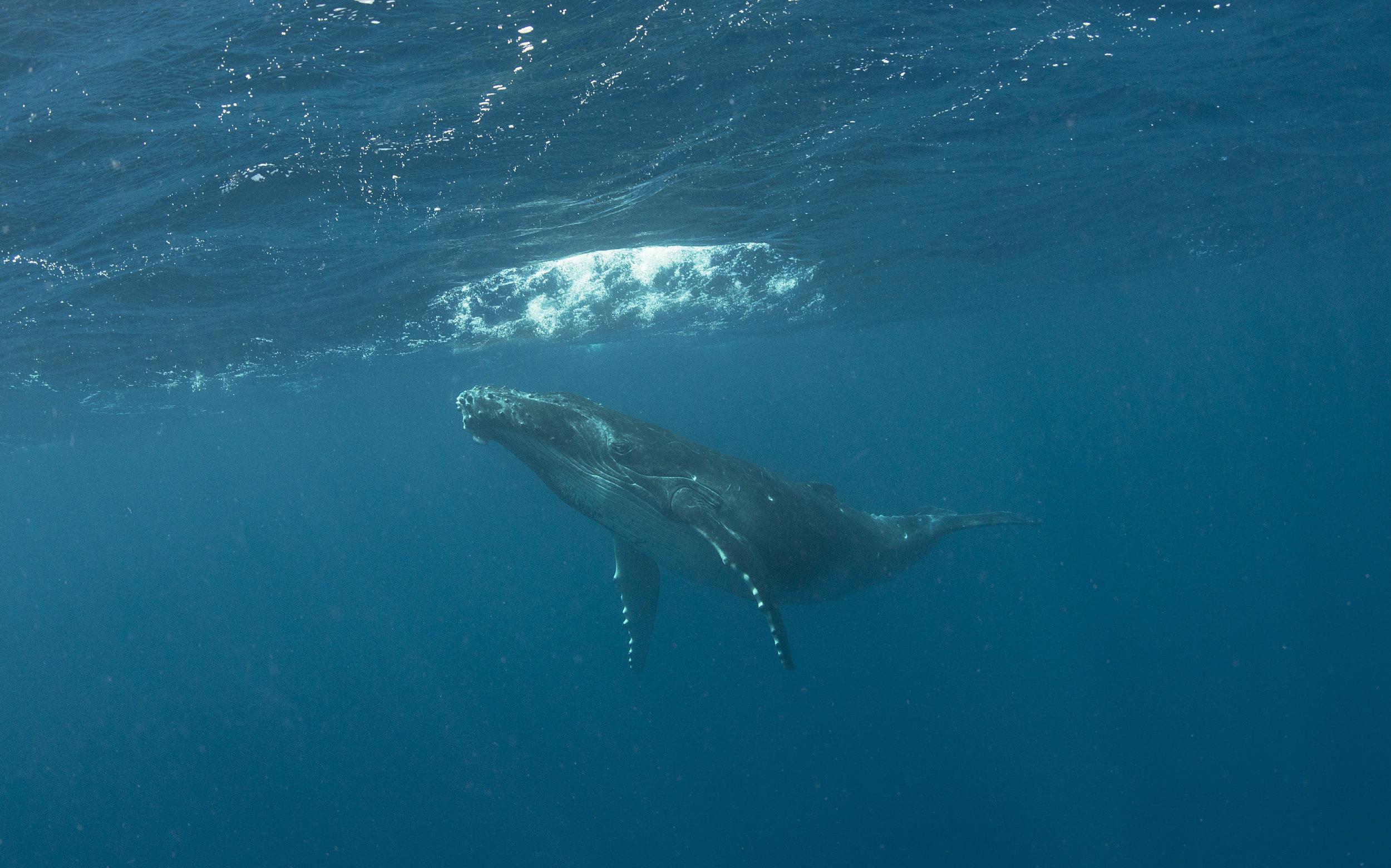 humpback in TONGA credit: JAYNE JENKINS / coral reef image bank