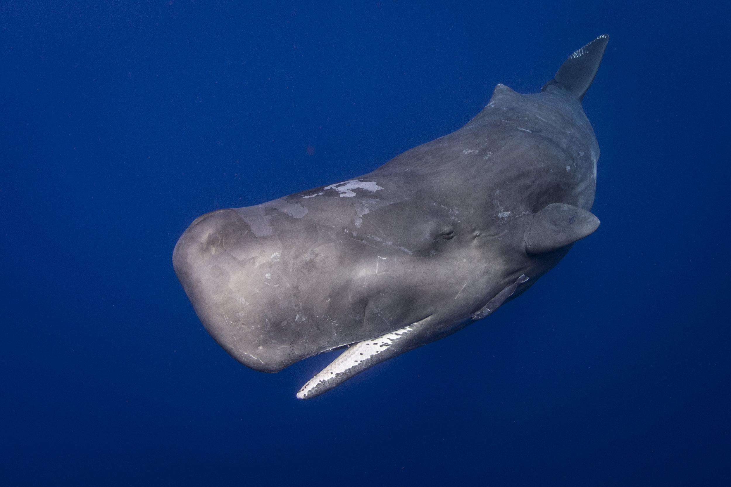 sperm whale credit: ellen cuylaerts / coral reef image bank