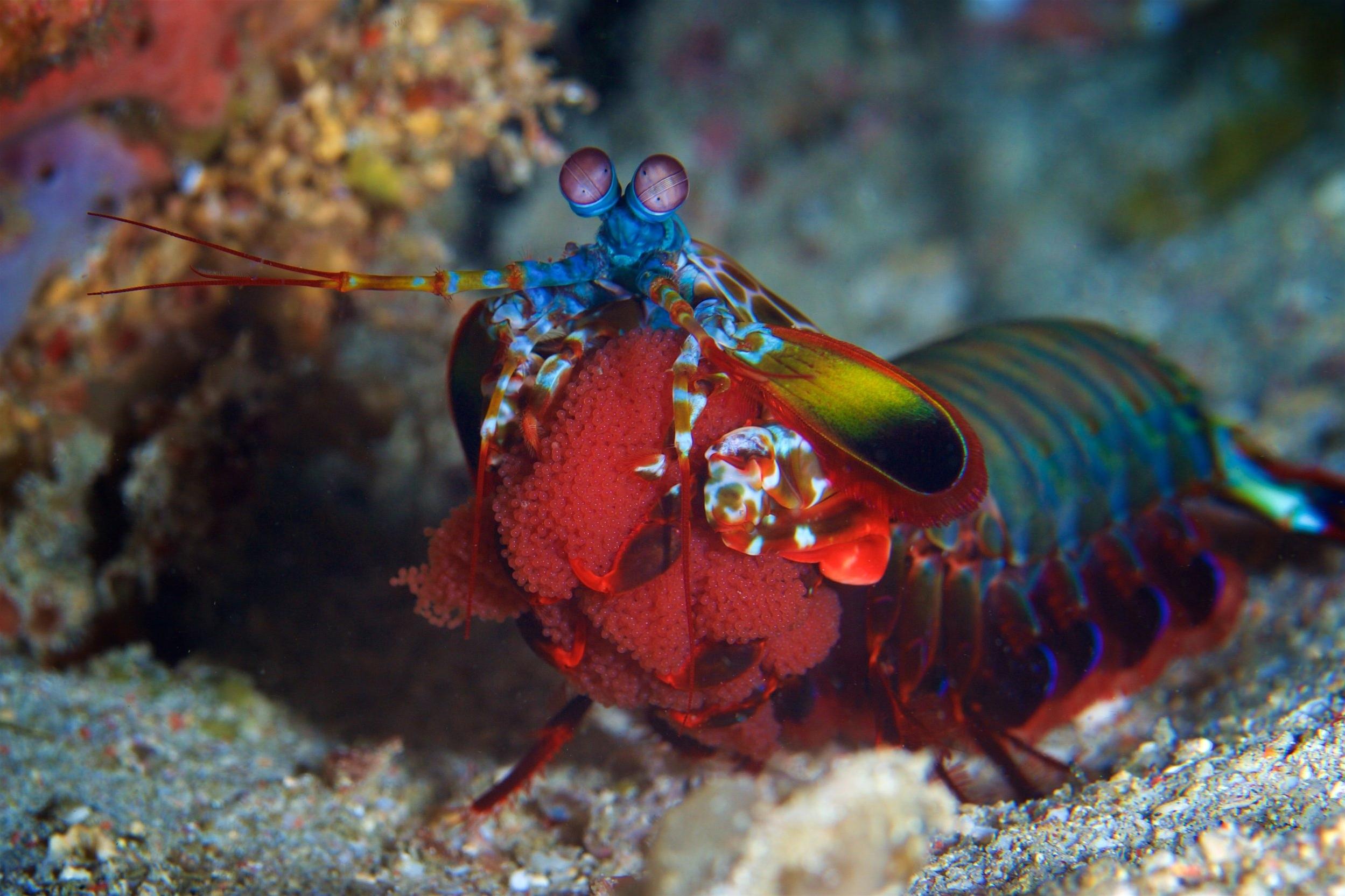 mantis shrimp credit: gregory piper / coral reef image bank