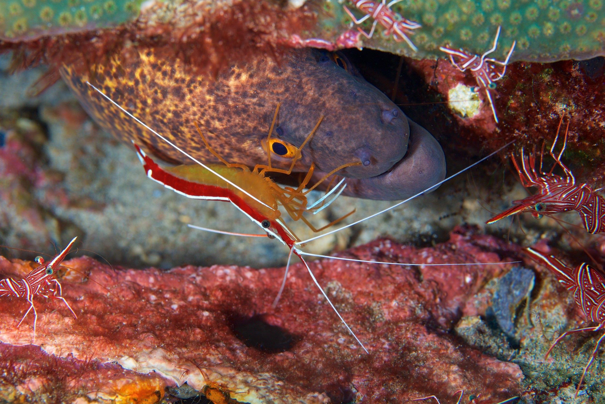 cleaner shrimp credit: gregory piper / coral reef image bank