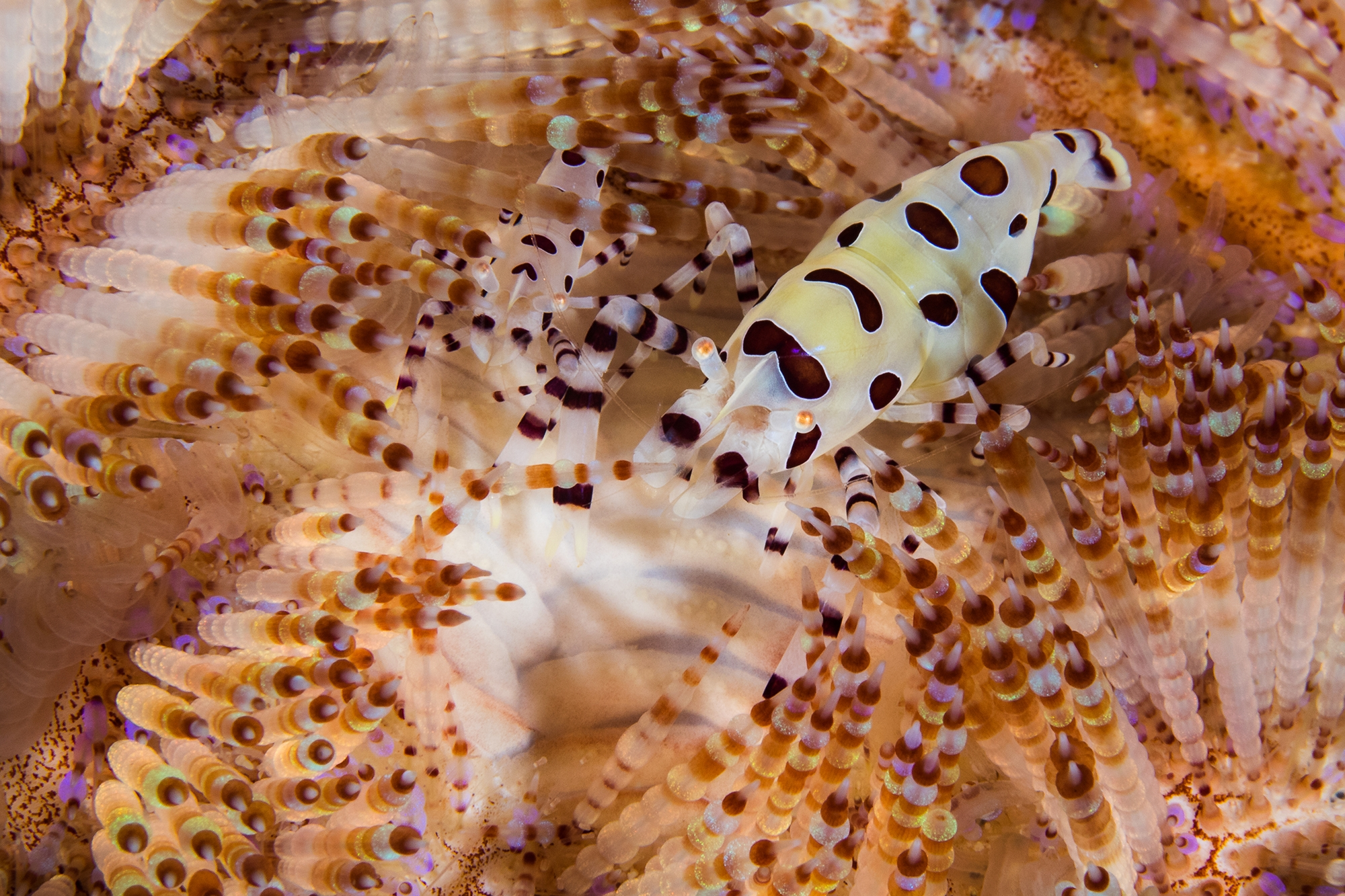 coleman shrimp credit: simon pierce / coral reef image bank