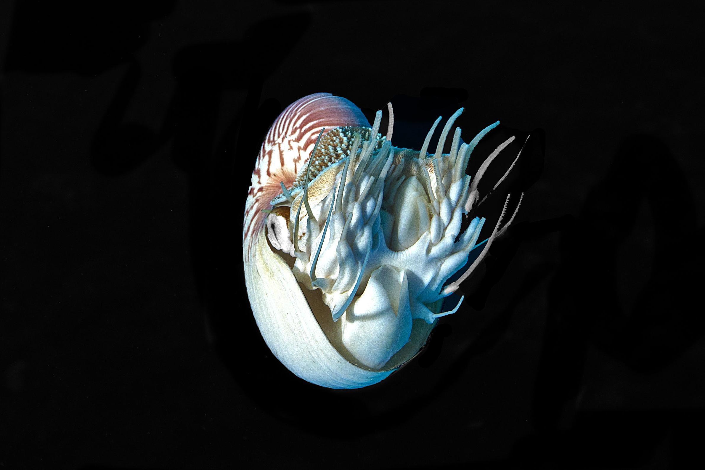 nautilus CREDIT: JAYNE JENKINS / coral reef image bank