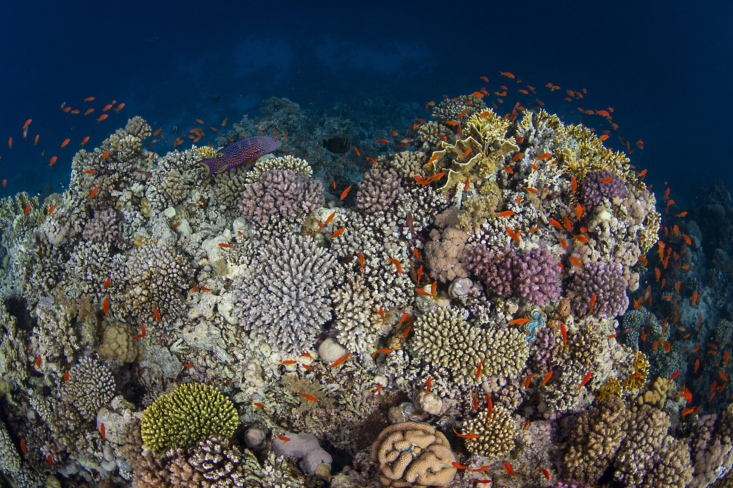 12 - fish swim over WOODHOUSE REEF, TIRAN ISLAND credit: renata romeo / coral reef image bank