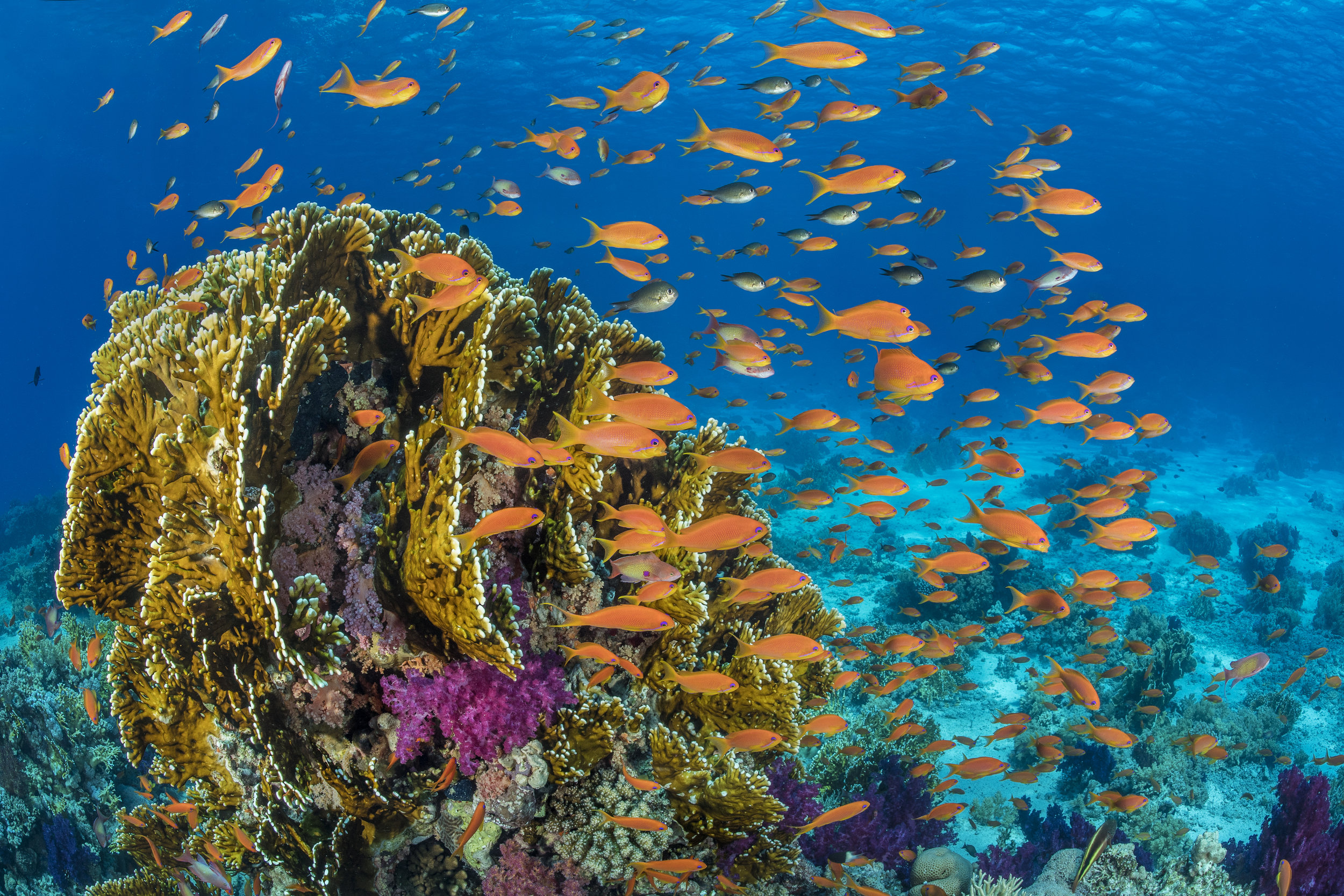05 - fish on a reef in RAS MOHAMMED NATIONAL PARK, EGYPT credit: alex mustard / coral reef image bank