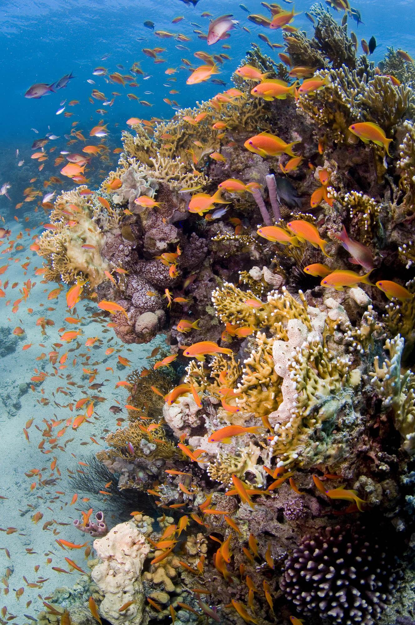 03 - fish swim On a healthy reef credit: warren baverstock / coral reef image bank