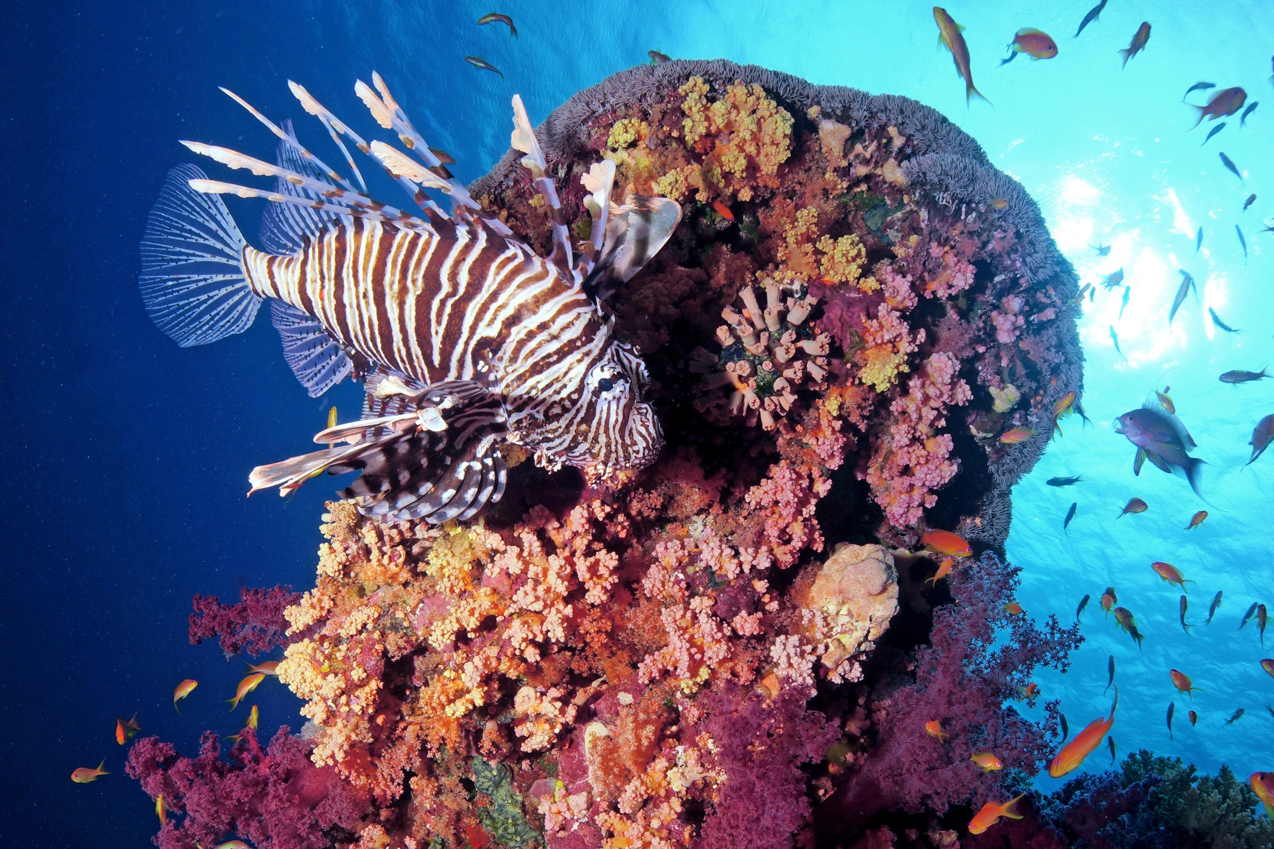 a lionfish swims in a healthy coral reef in egypt credit: CINZIA OSELE BISMARCK / coral reef image bank