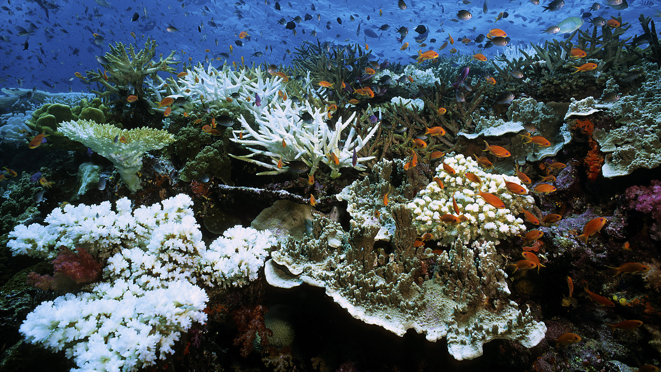 coral bleaching credit: howard hall / coral reef image bank