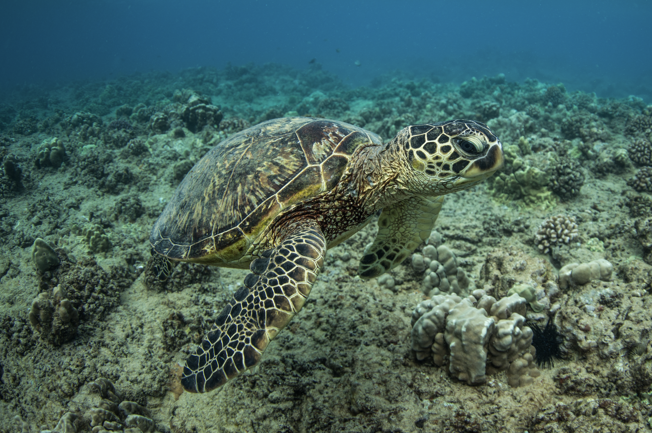 turtle in hawaii credit: kimberly jeffries / coral reef image bank