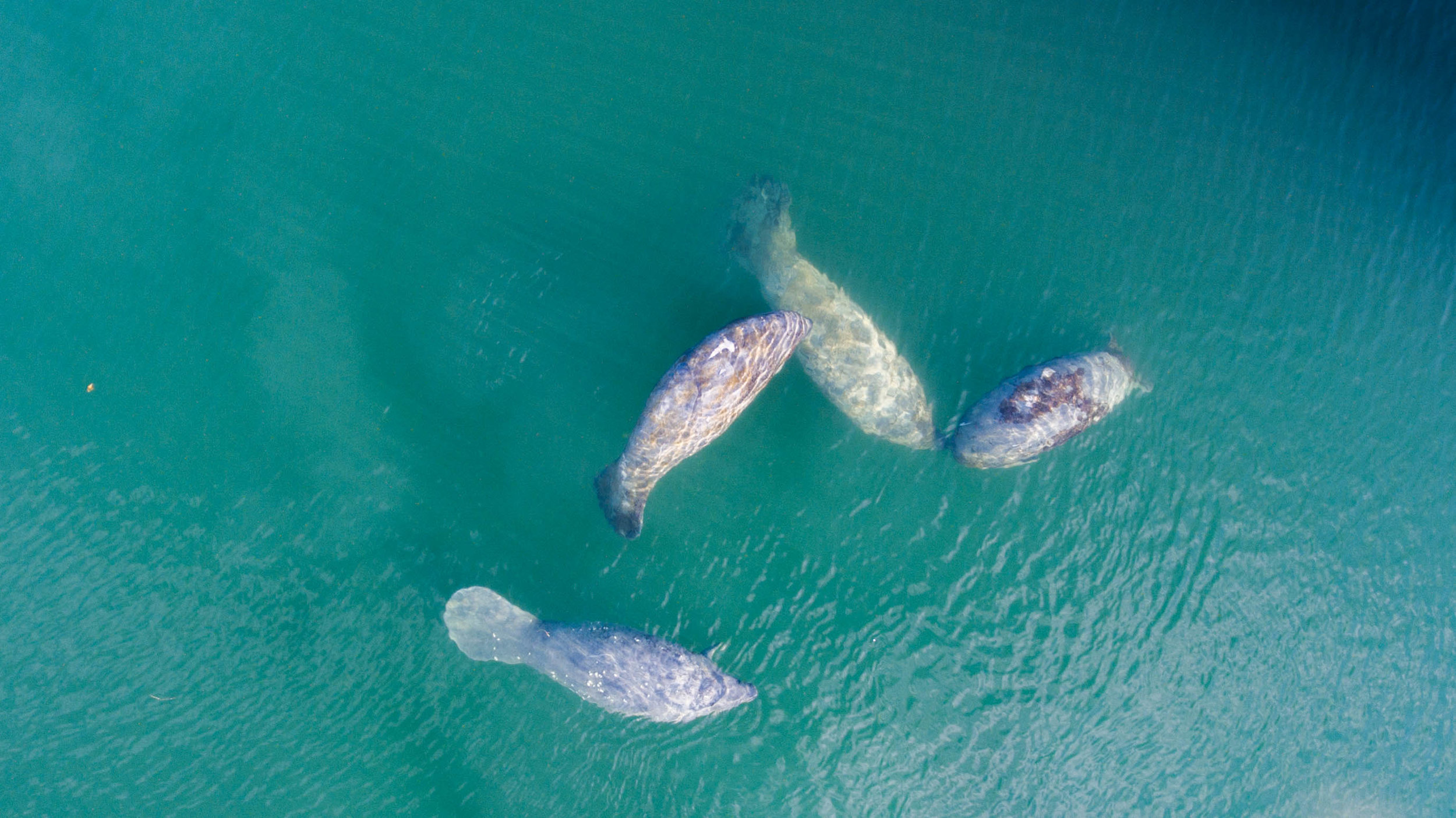 manatees in florida credit: david gross / coral reef image bank