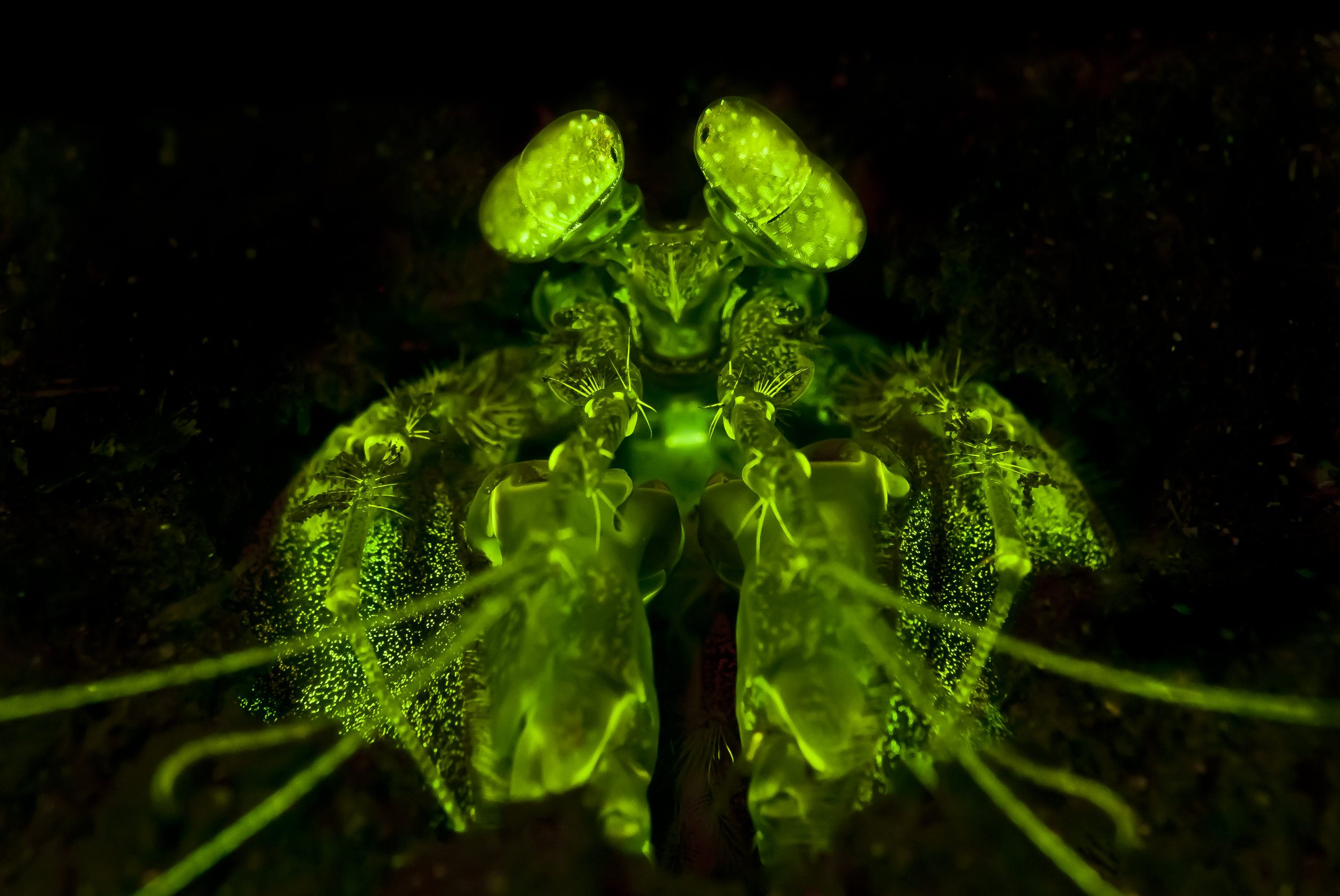 Lisa's Mantis Shrimp Fluorescence (Lysiosquillina lisa) credit: alex tyRrell/ coral reef image bank