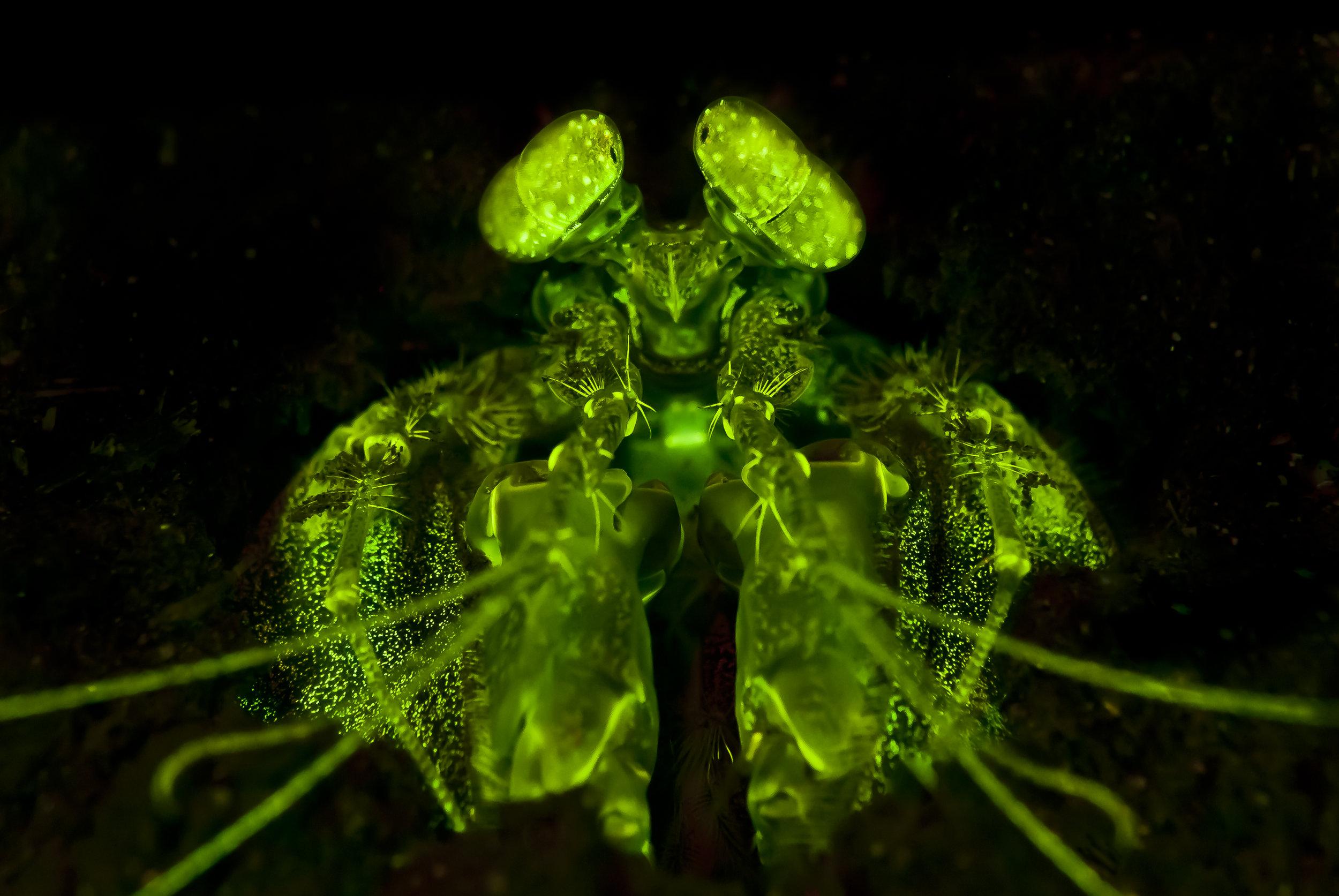 Lisa's Mantis Shrimp Fluorescence (Lysiosquillina lisa) credit: alex tyrrell / coral reef image bank