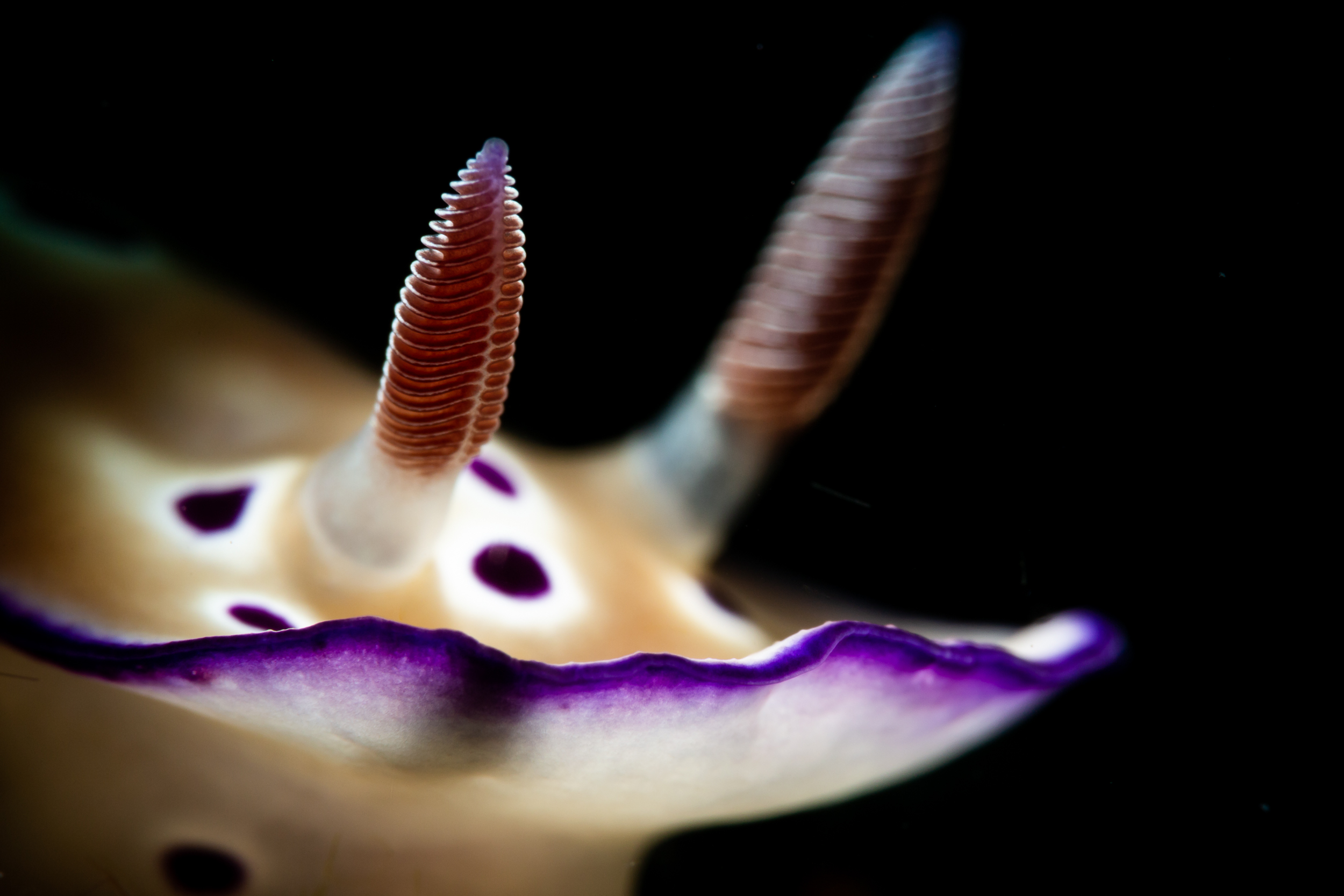 Chromodoris sp. (Anilao, Philippines) CREDIT: ERIK LUKAS / coral reef image bank
