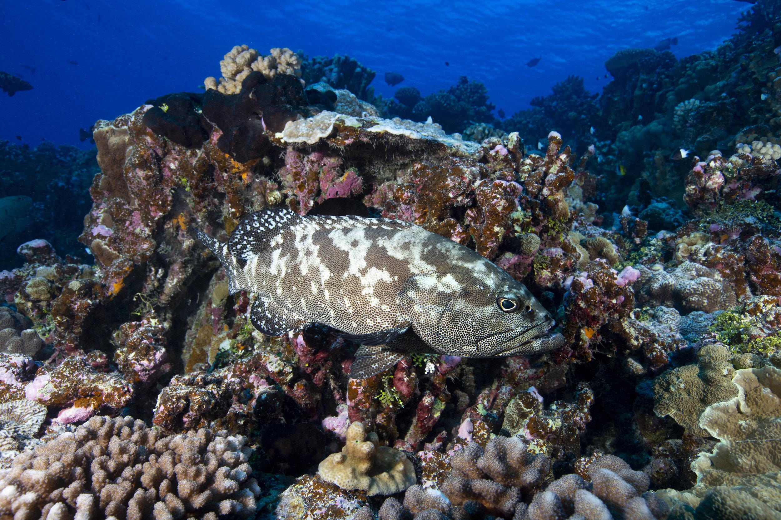 marbled grouper in fakarava CREDIT: RICK MISKIV / coral reef image bank