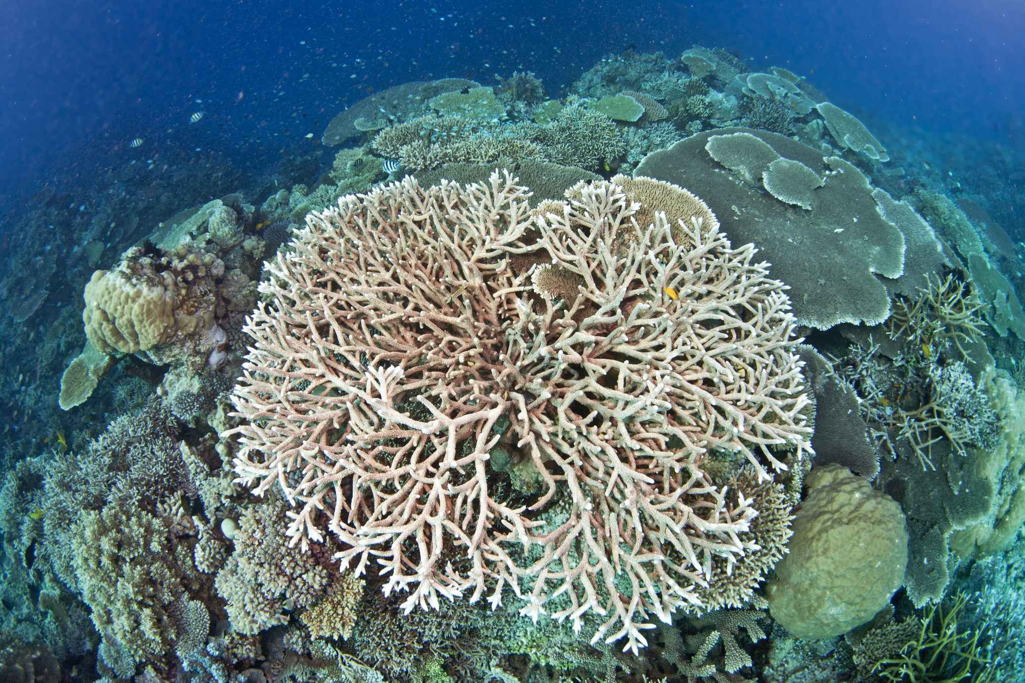 coral in the Great barrier reef credit: jayne jenkins / coral reef image bank