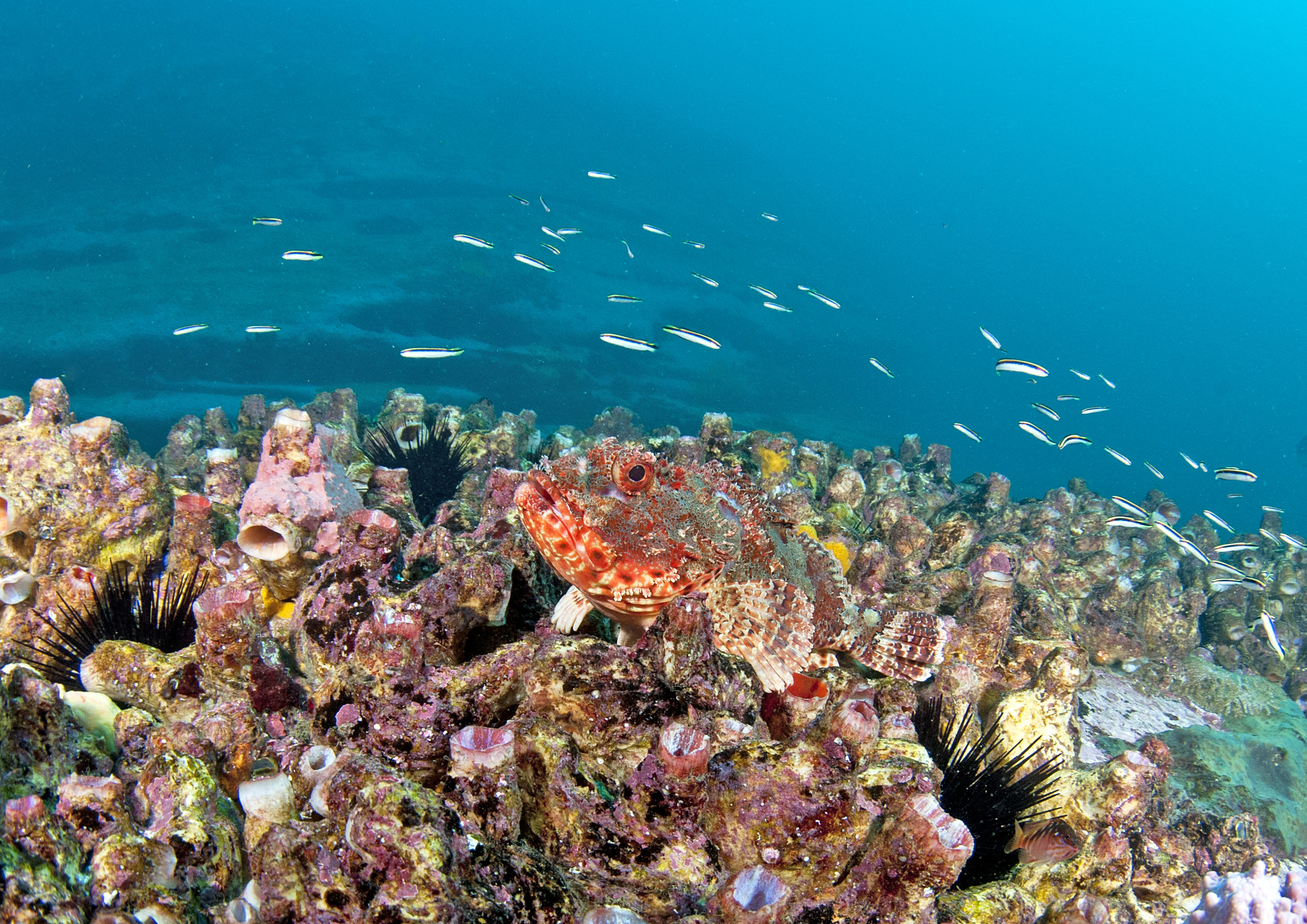 coral (and stonefish) in sydney credit: jayne jenkins / coral reef image bank