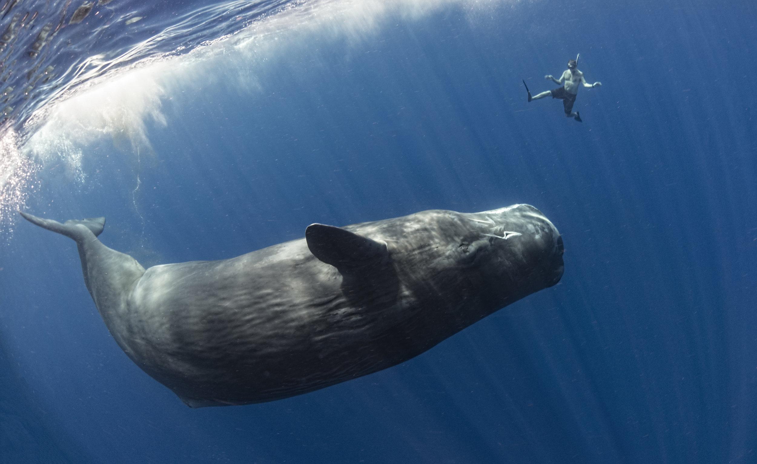 sperm whale credit: amanda cotton / coral reef image bank