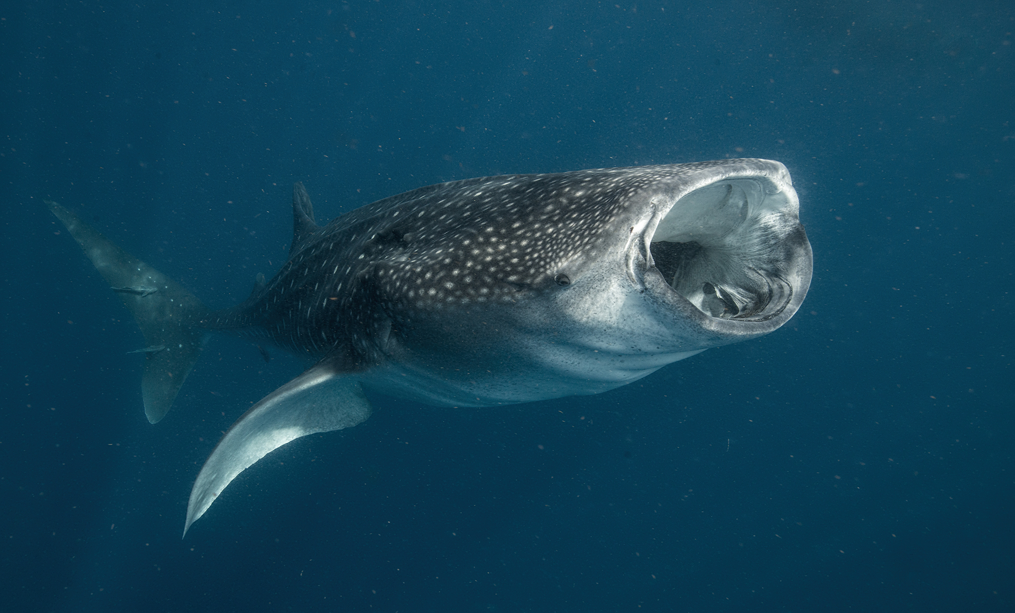 whale shark eating credit: Amanda cotton / Coral reef image bank