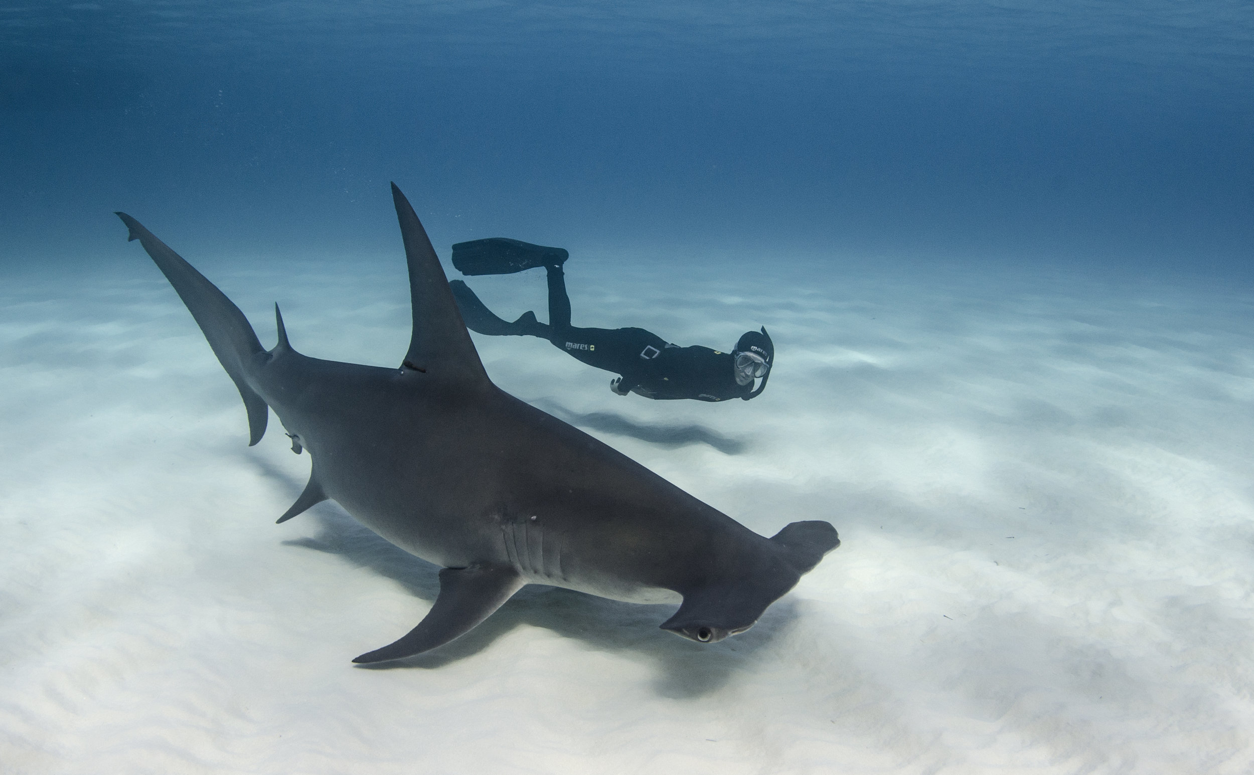 haMMerhead with freediver credit: Amanda cotton / Coral reef image bank
