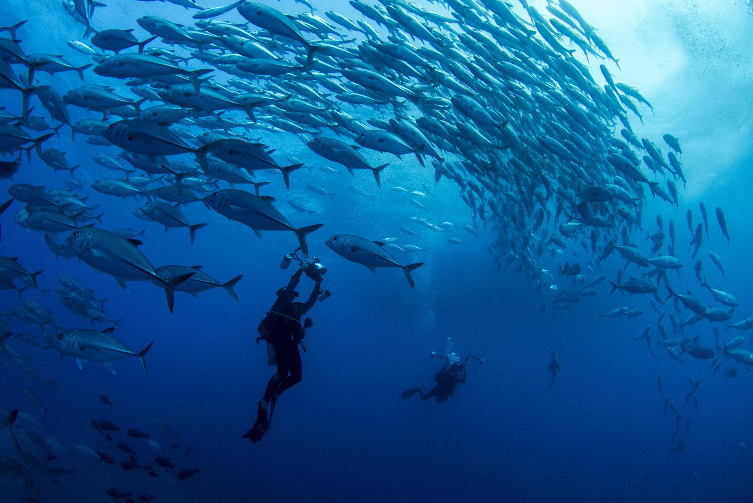 trevally school with diver amanda cotton/ coral reef image bank