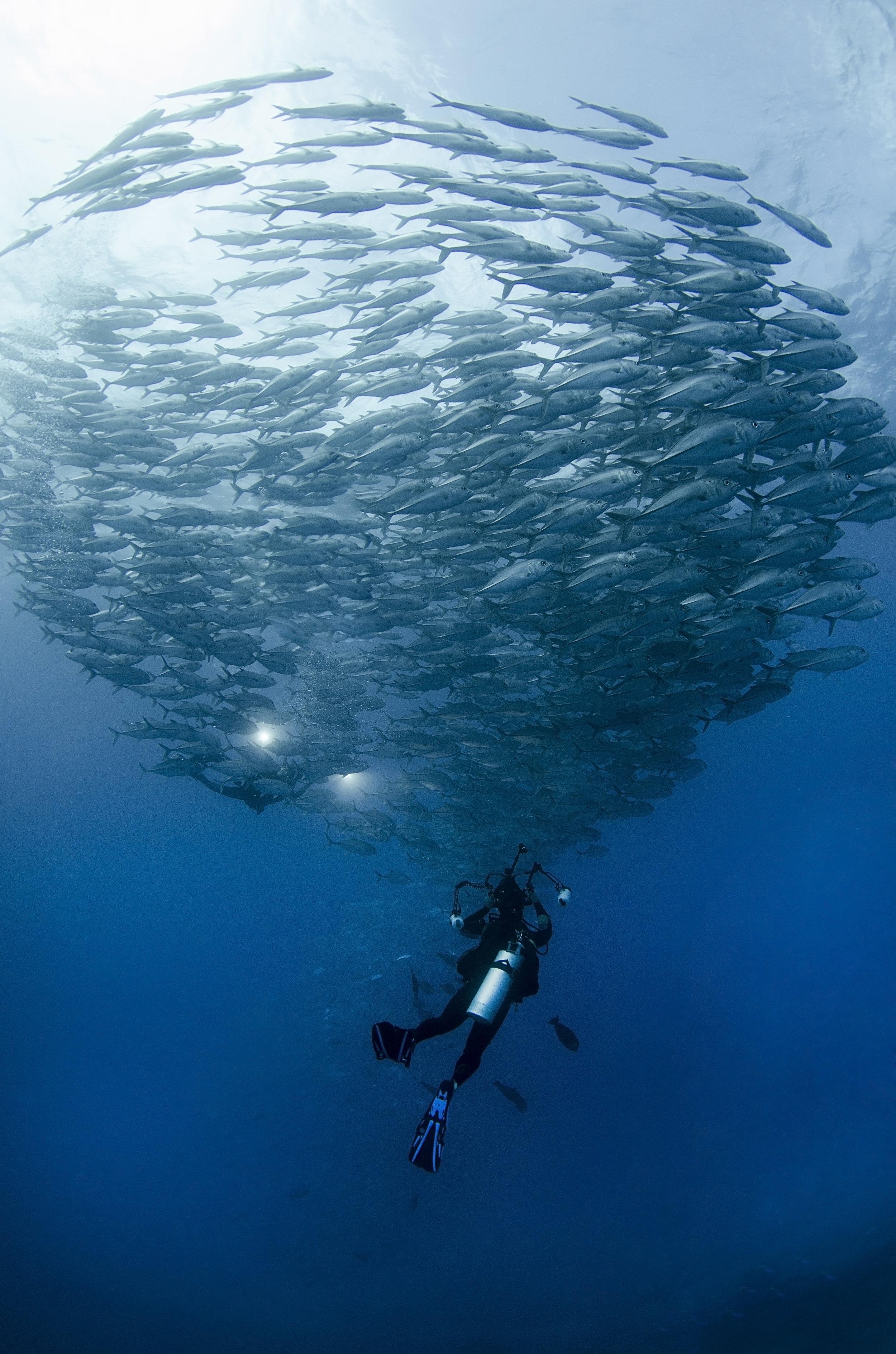 trevally school with diver amanda cotton / coral reef image bank